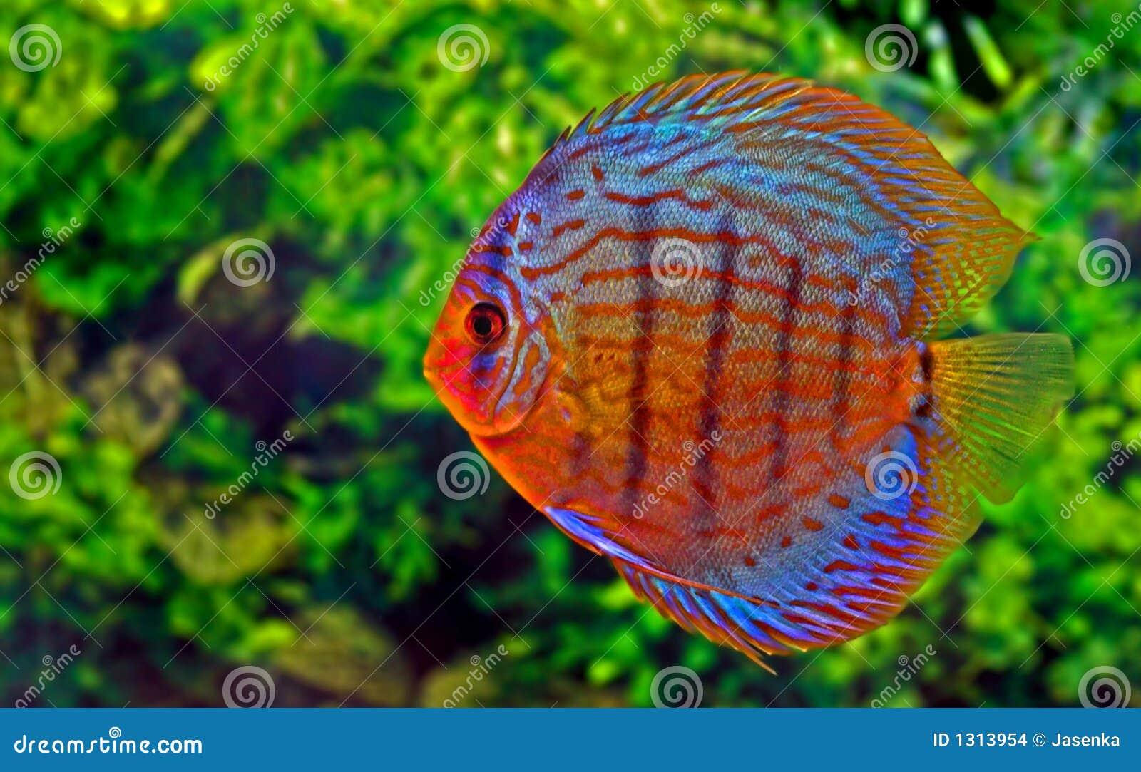 Discus fish stock photo. Image of discus, underwater, colour - 1313954