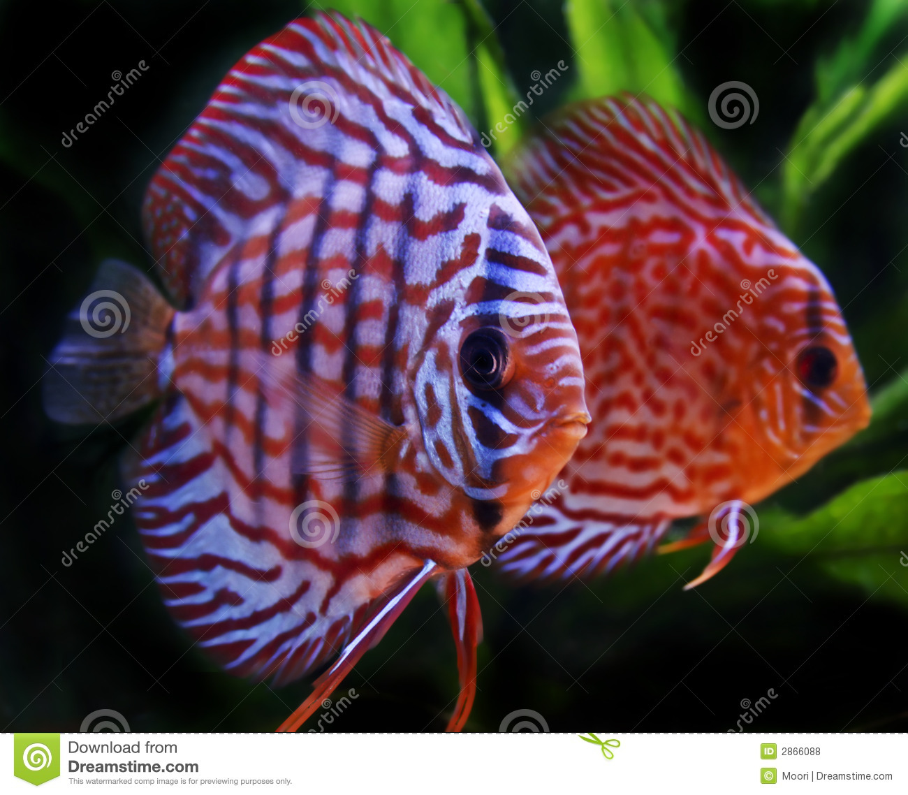 Discus fish stock photo. Image of water, decorative, plants - 2866088
