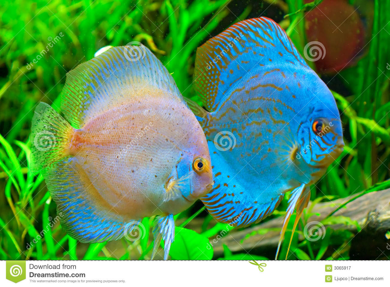 Discus fish stock image image of life reef amazon for Pesce discus
