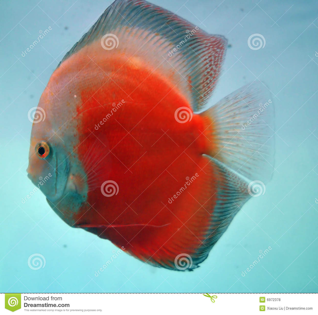 Discus fish royalty free stock photos image 6972378 for Dream of fish swimming