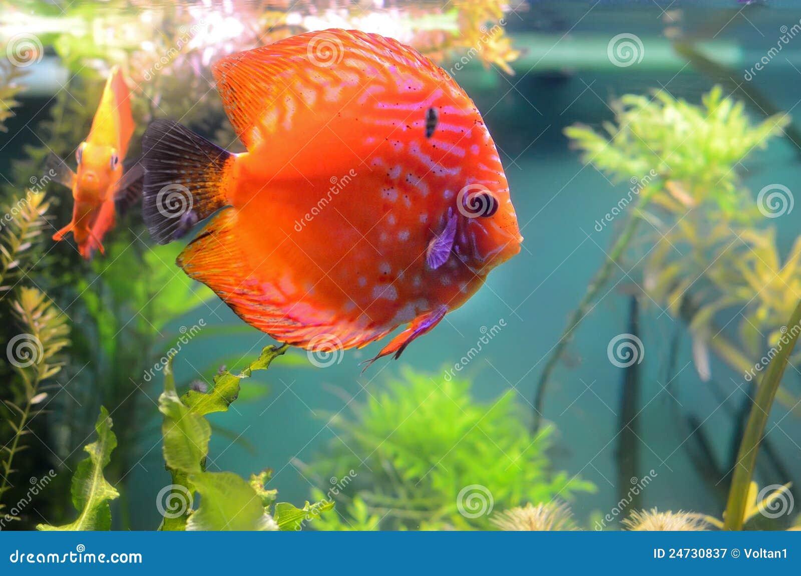 Discus Fish In The Aquarium Stock Image - Image of beautiful, orange ...