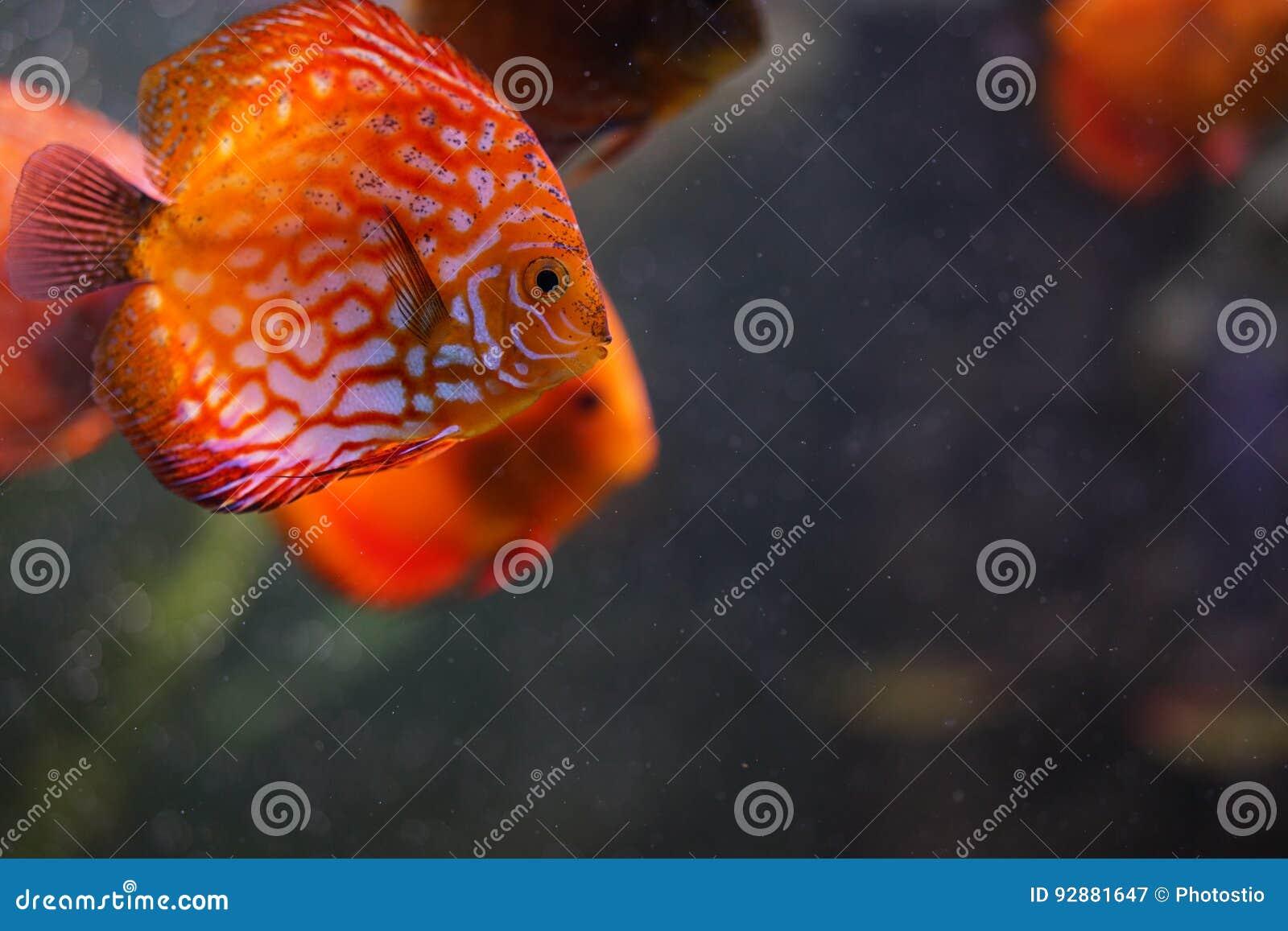 Discus fish in aquarium stock image. Image of orange - 92881647