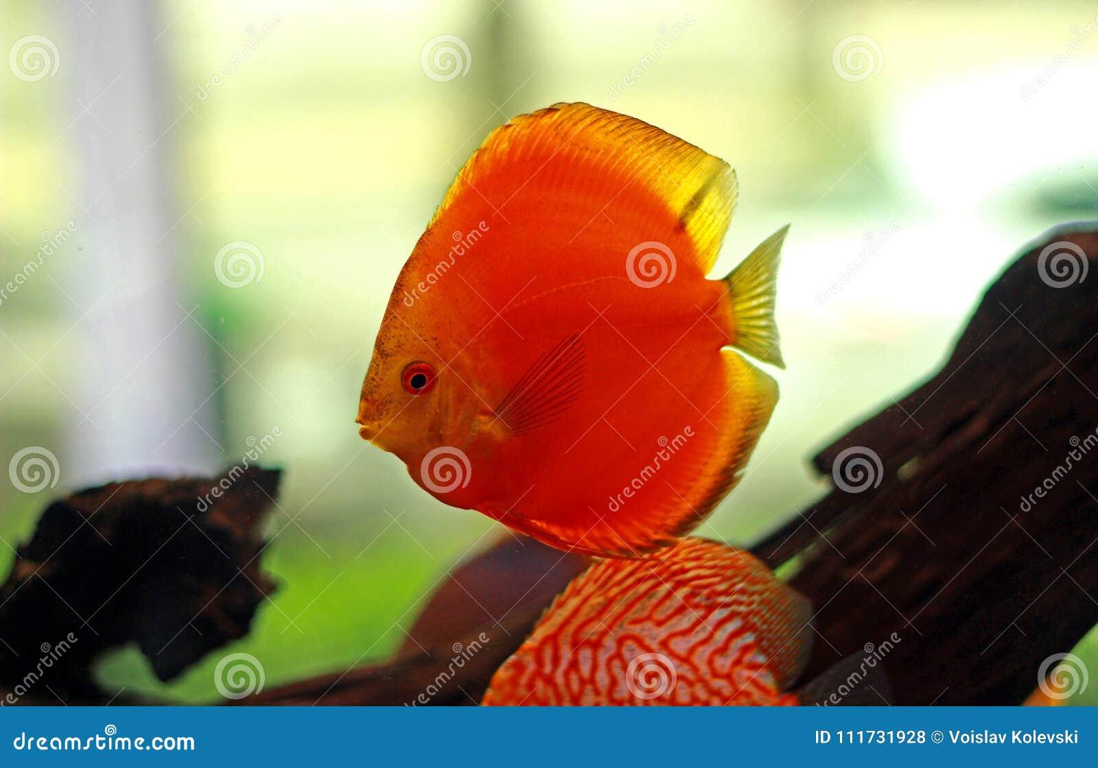 Discus Fish In Freshwater Aquarium Stock Photo - Image of elegant ...