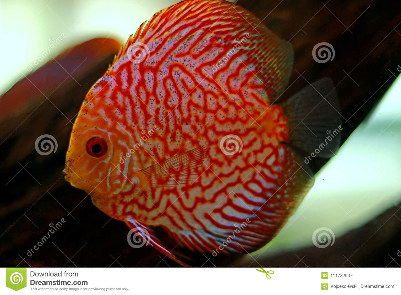 Discus Fish In Freshwater Aquarium Stock Image - Image of aquascape ...