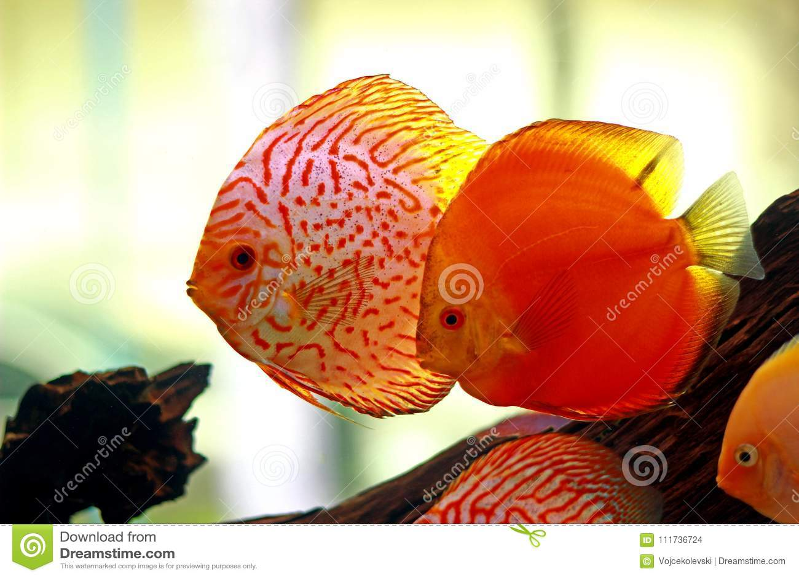 Discus Fish In Freshwater Aquarium Stock Photo - Image of aquatic ...