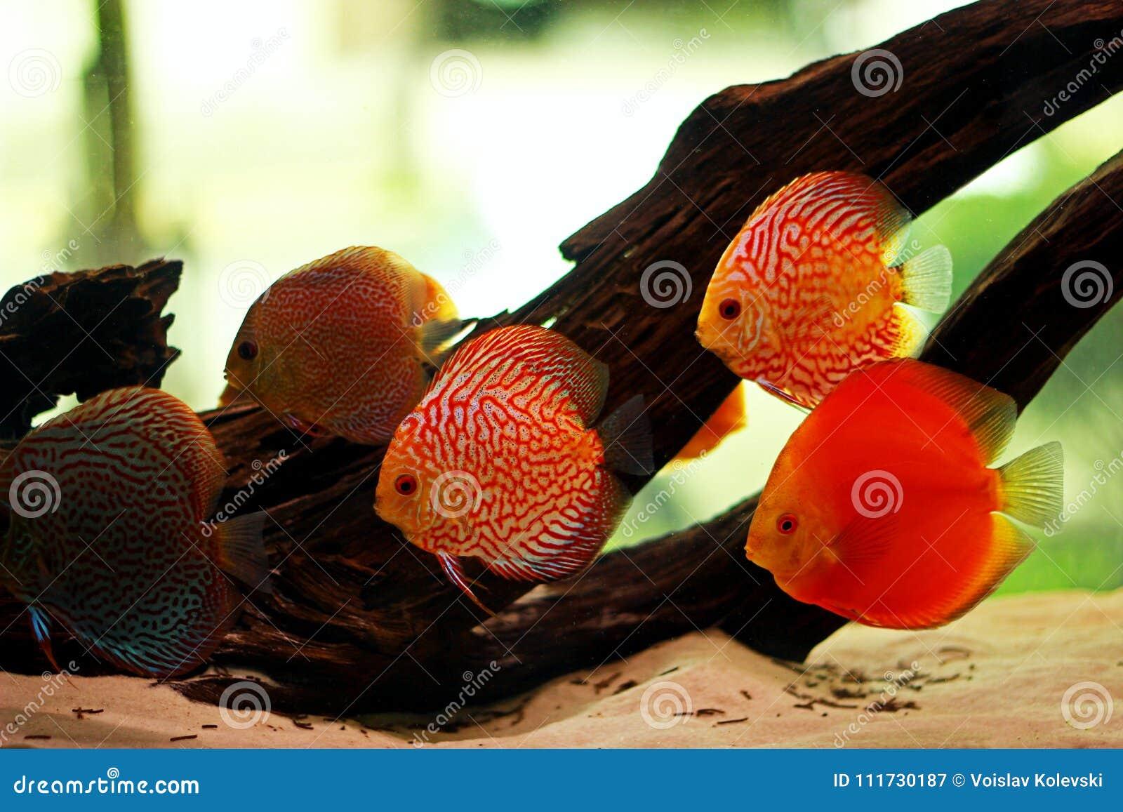 Discus Fish In Freshwater Aquarium Stock Image - Image of expensive ...