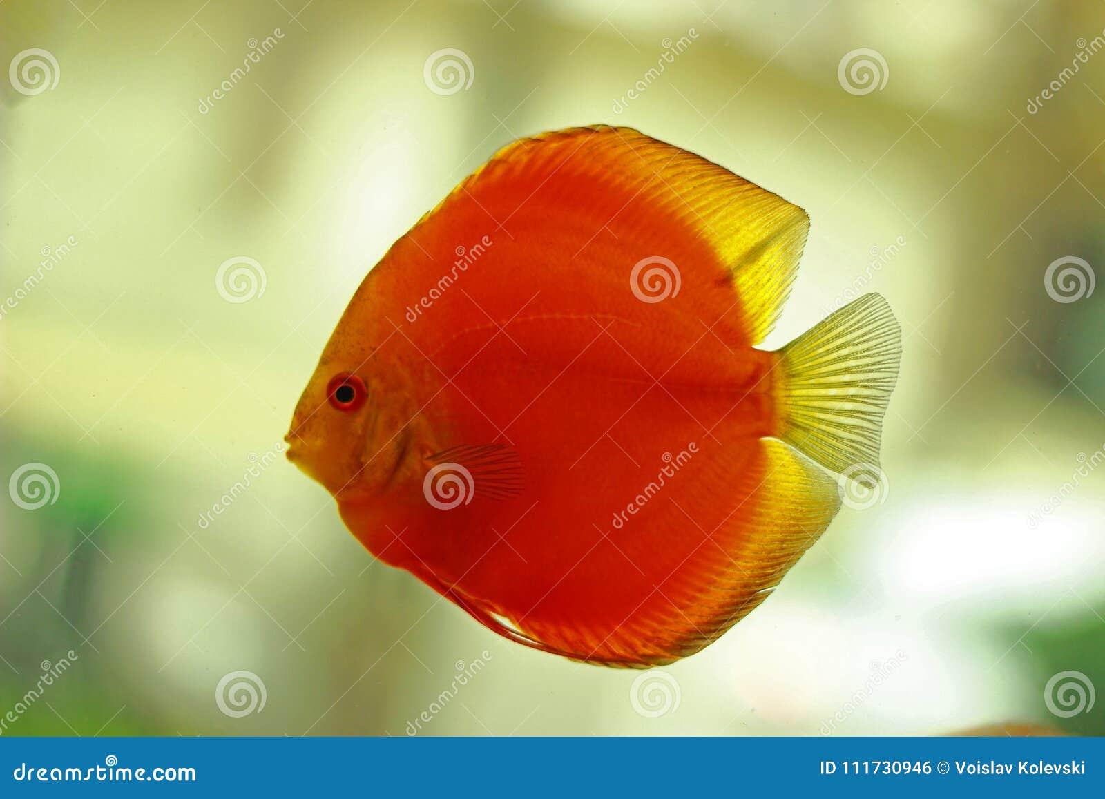 Discus Fish In Freshwater Aquarium Stock Photo - Image of fish ...