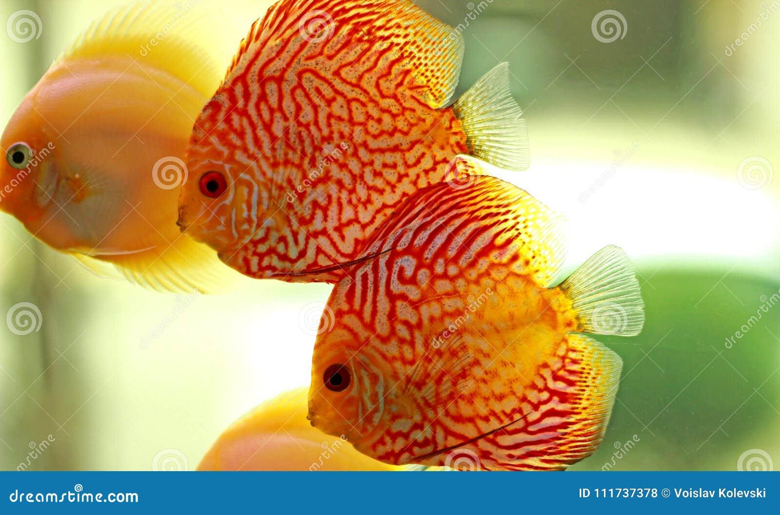 Discus Fish In Freshwater Aquarium Stock Photo - Image of discus ...