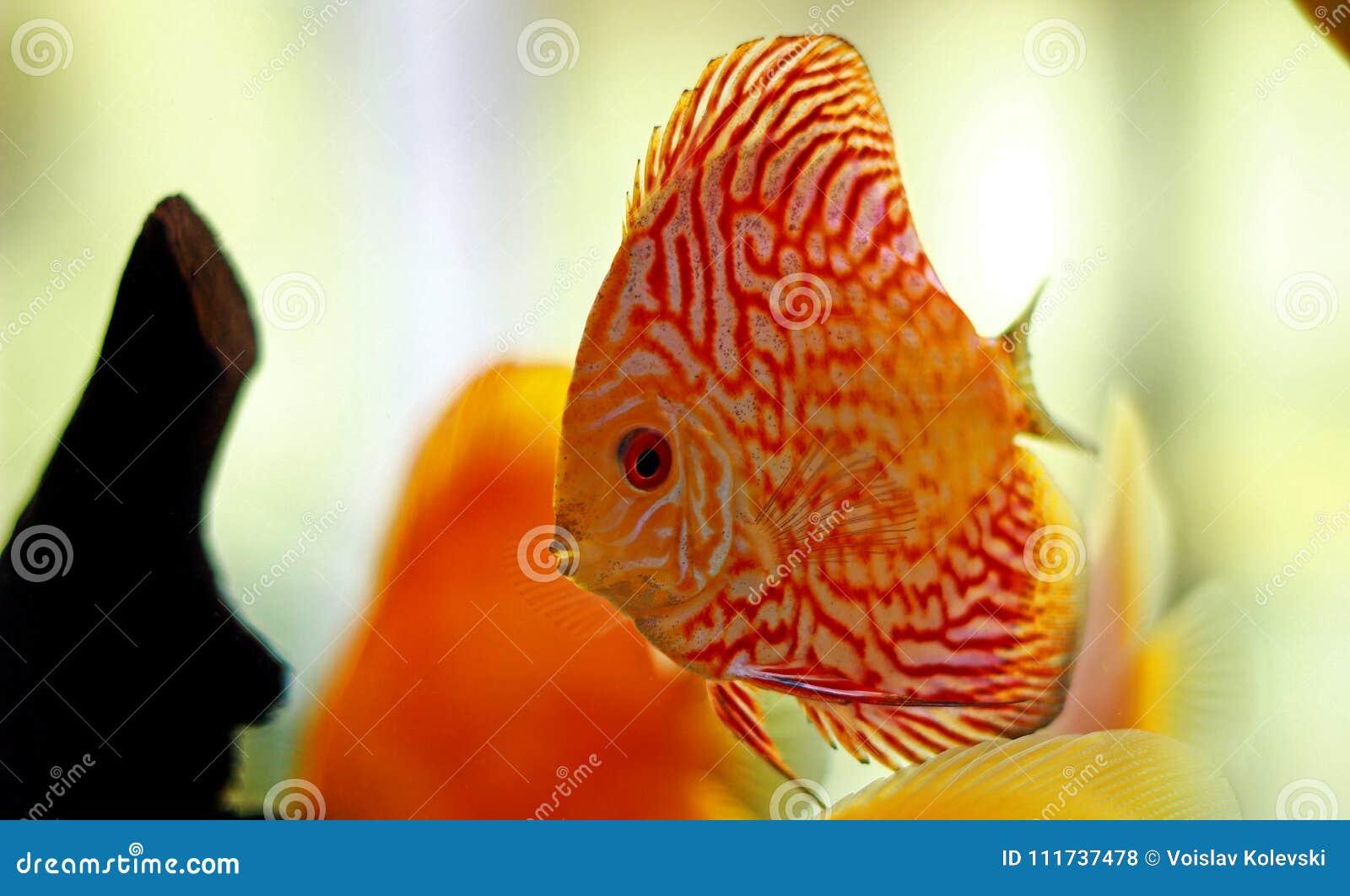 Discus Fish In Freshwater Aquarium Stock Photo - Image of ...