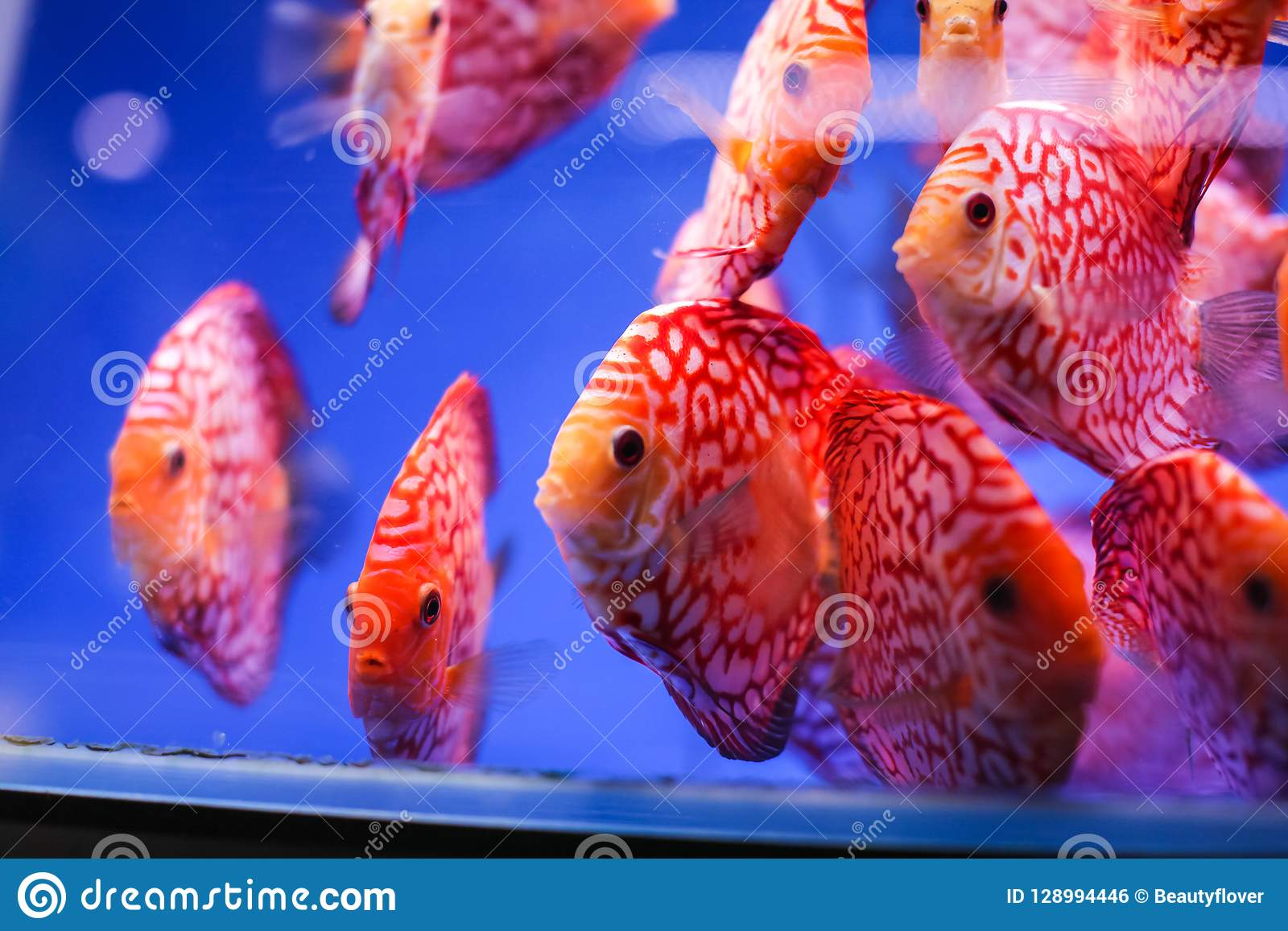 Discus Fish Symphysodon Aequifasciatus Red Melon With Red Turqoise