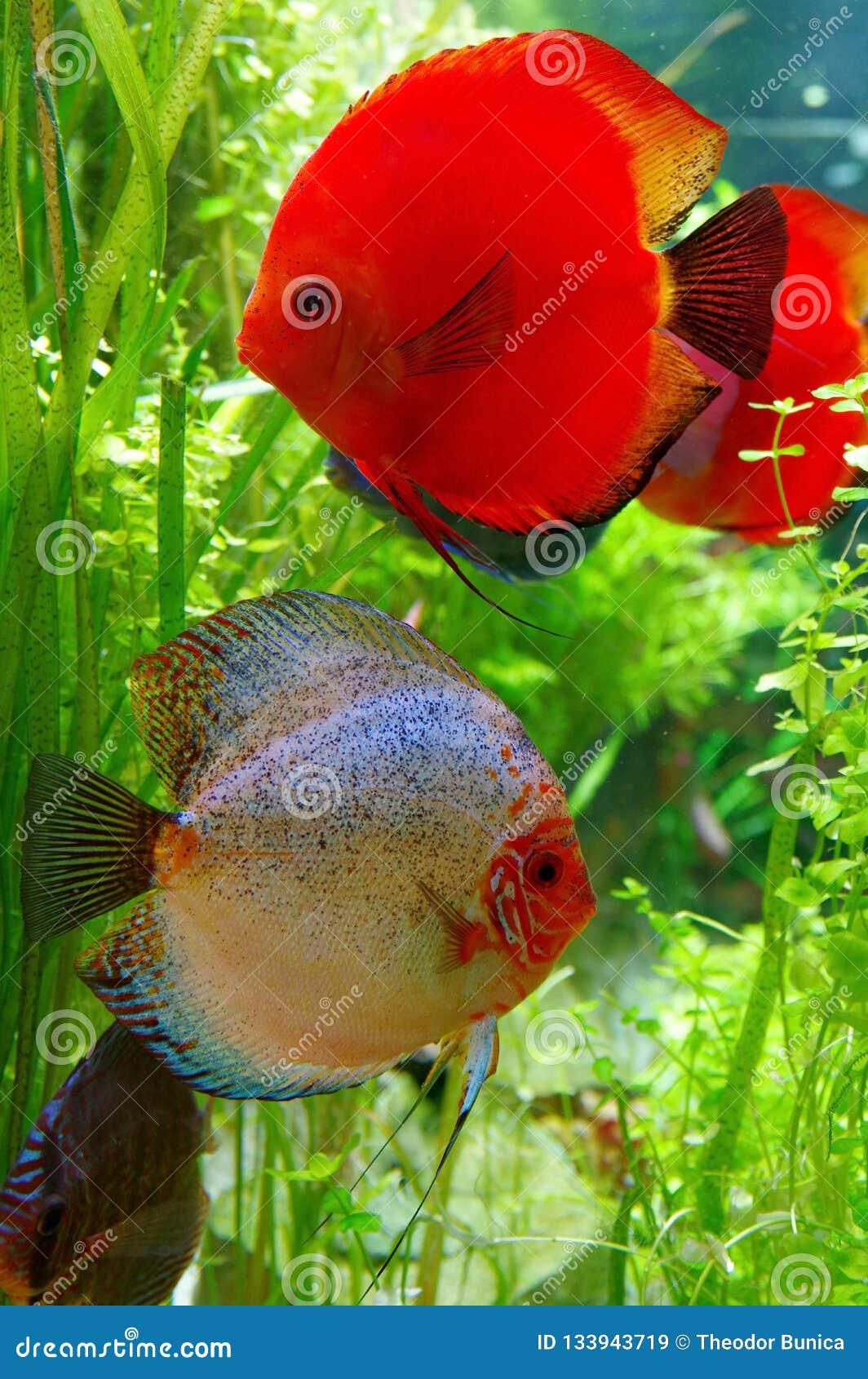 Beautiful pair of Discus fish