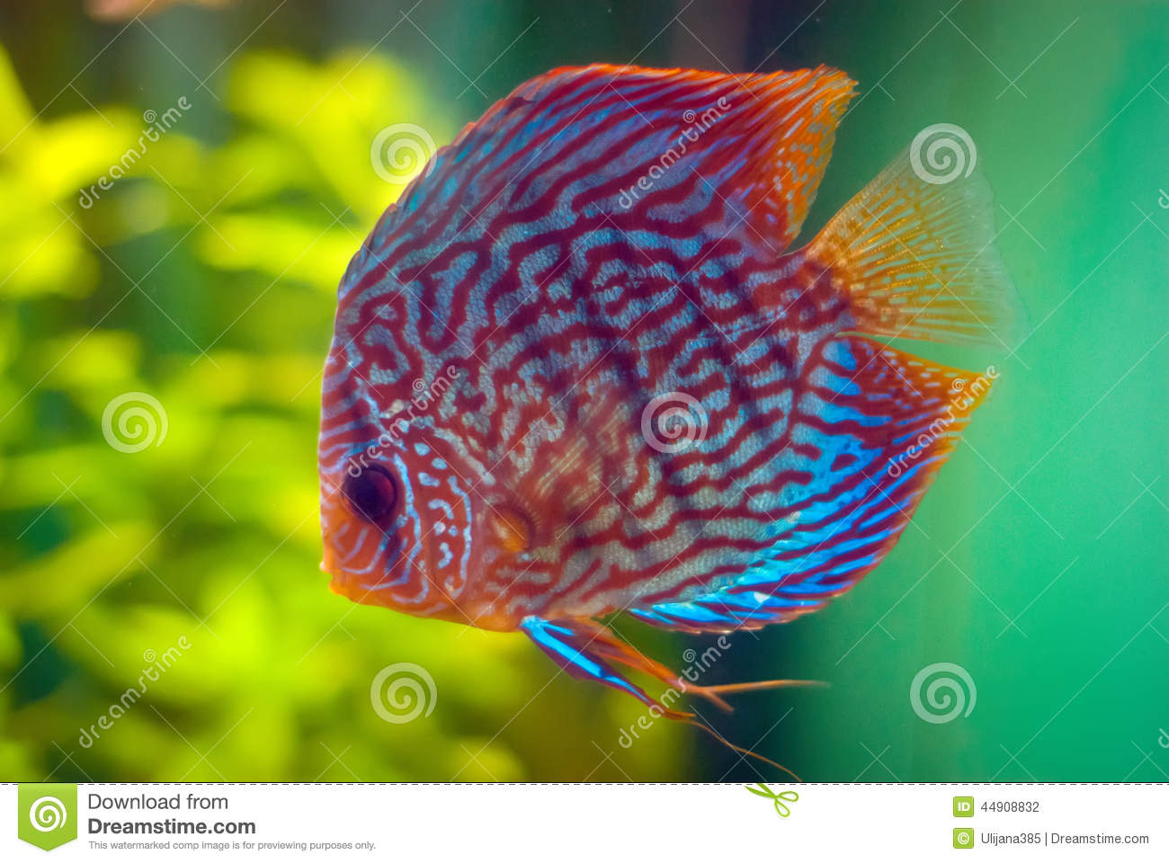 Discus fish stock photo image of fish discus freshwater for Image of fish