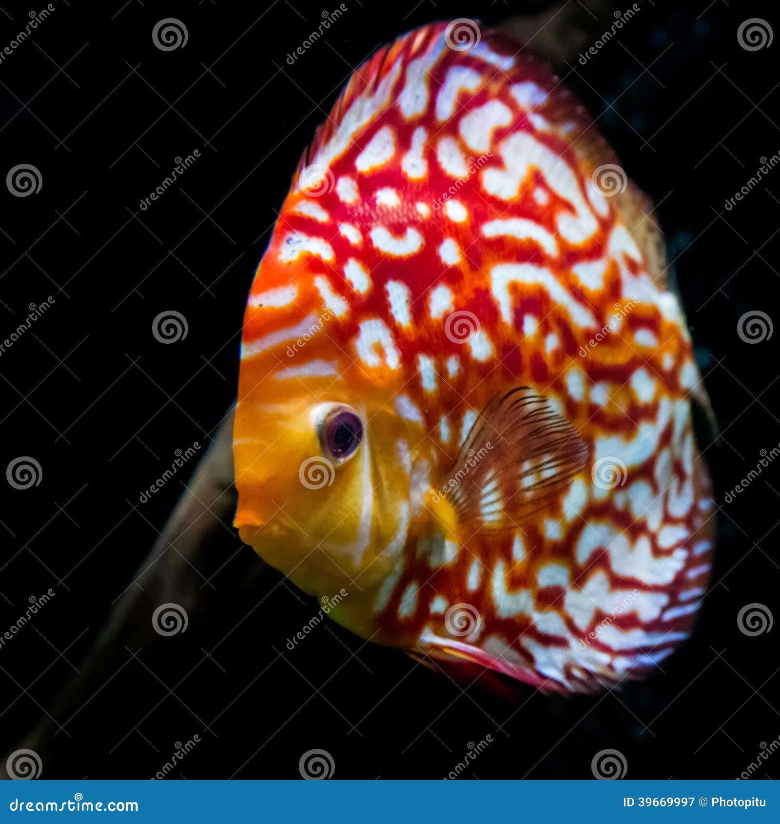 Discus stock image. Image of bright, colorful, aquarium - 39669997