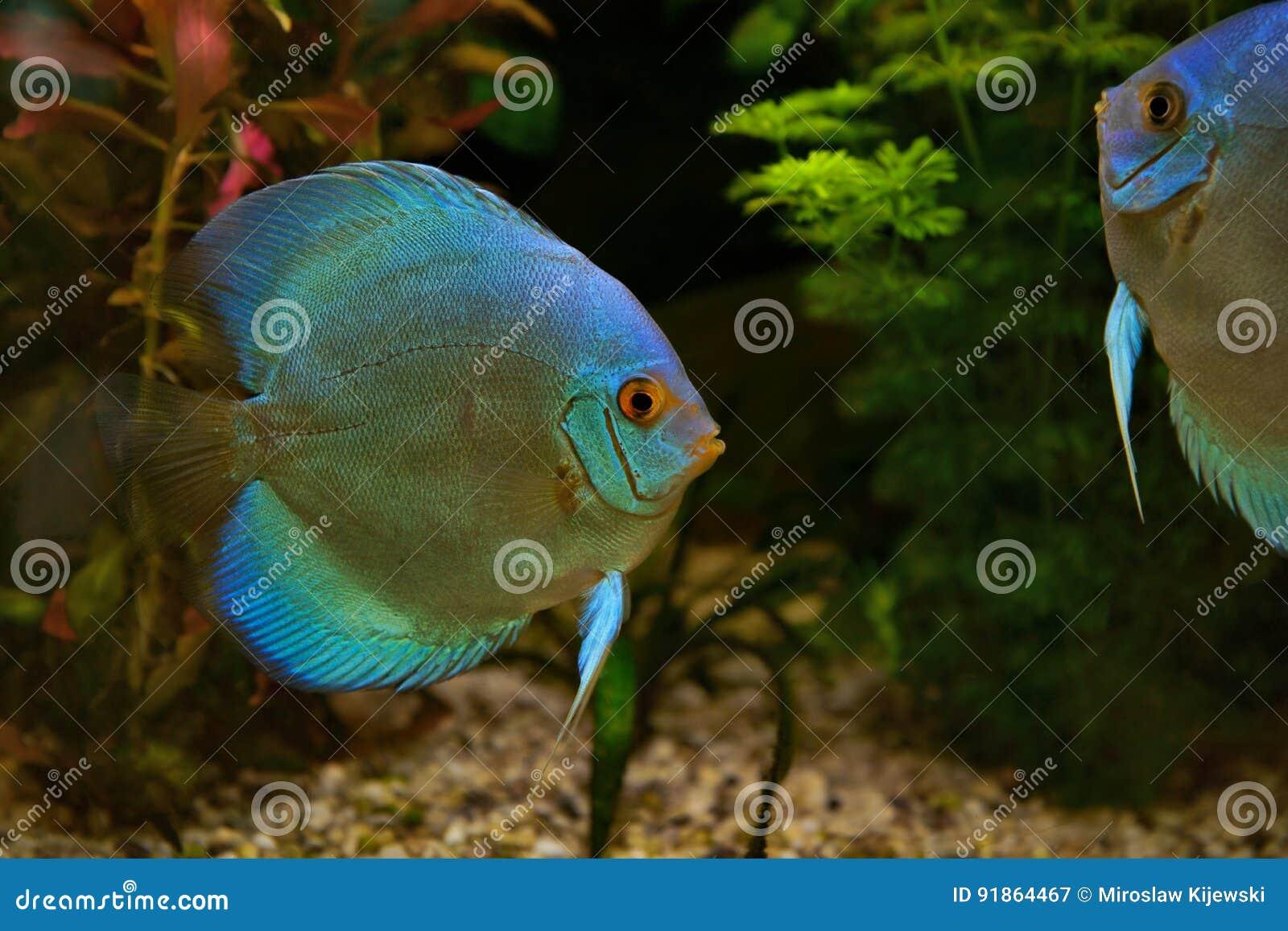 Discus Symphysodon Cichlids In The Aquarium The Freshwater Fish