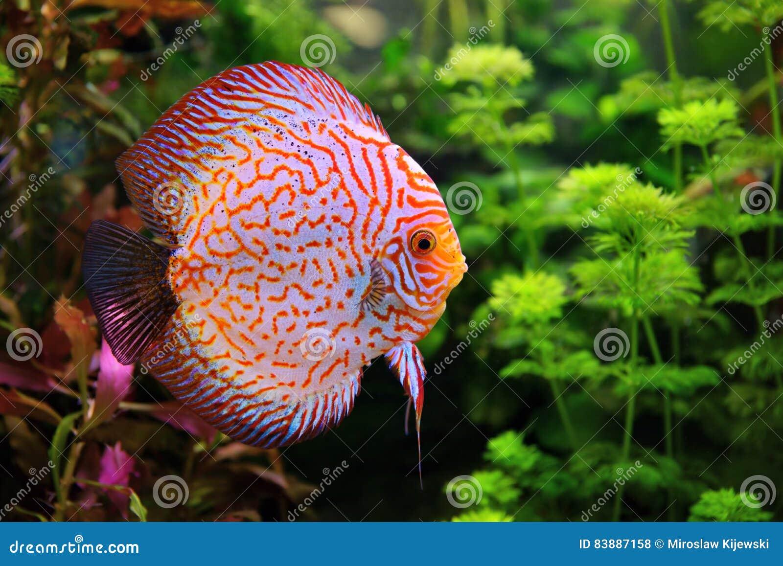 Discus Symphysodon, Multi-colored Cichlid In The Aquarium Stock ...
