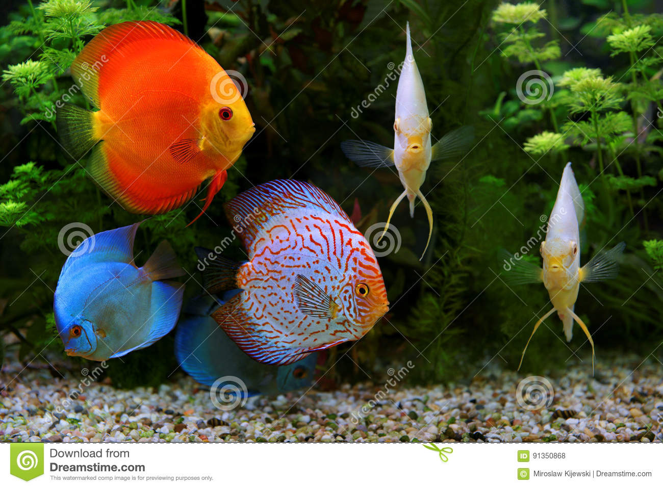 Freshwater fish amazon - Discus Symphysodon Multi Colored Cichlids In The Aquarium The Freshwater Fish Native To The Amazon River Basin