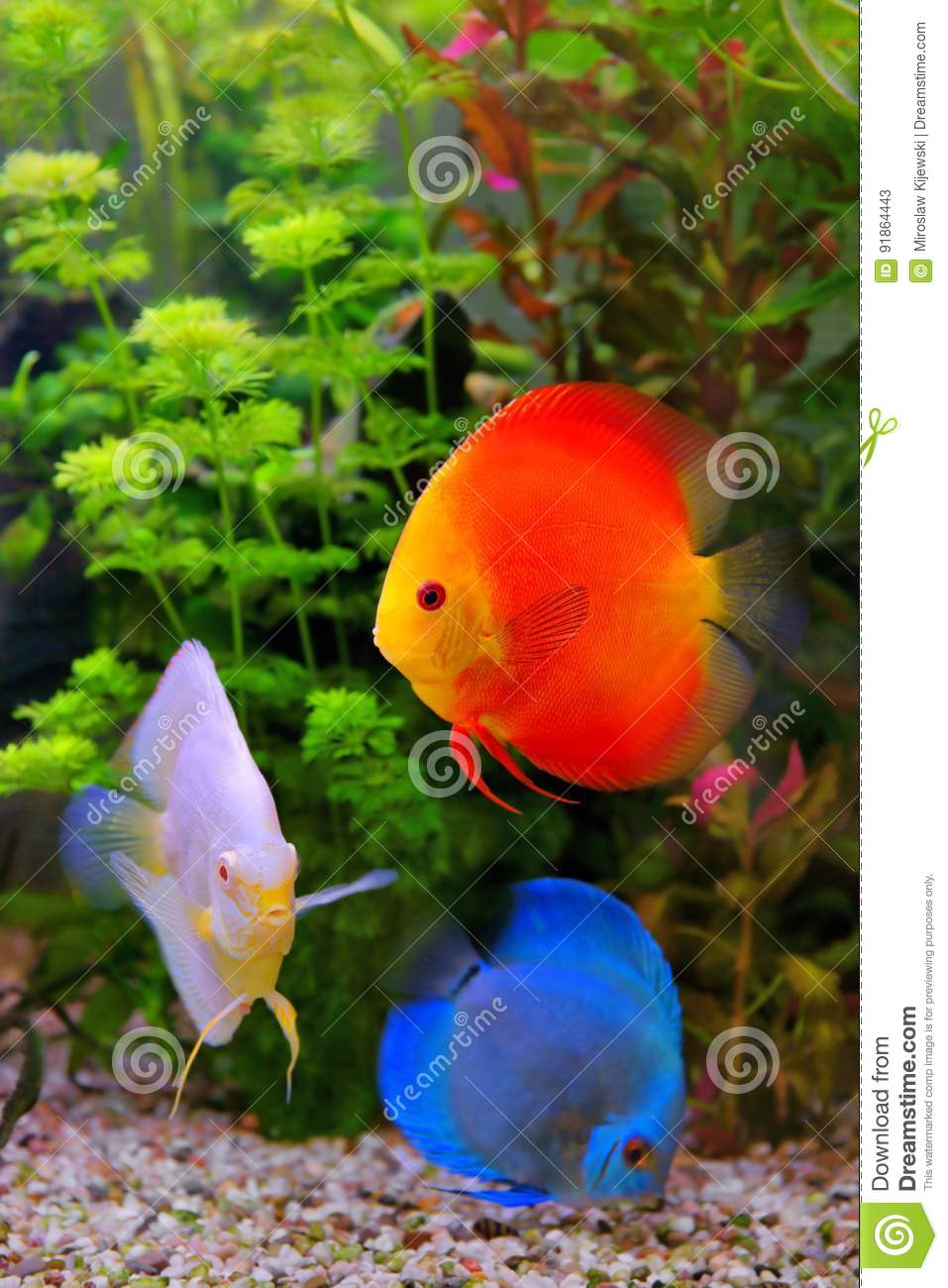 Freshwater fish amazon - Discus Symphysodon Multi Colored Cichlids In The Aquarium The Freshwater Fish Native To