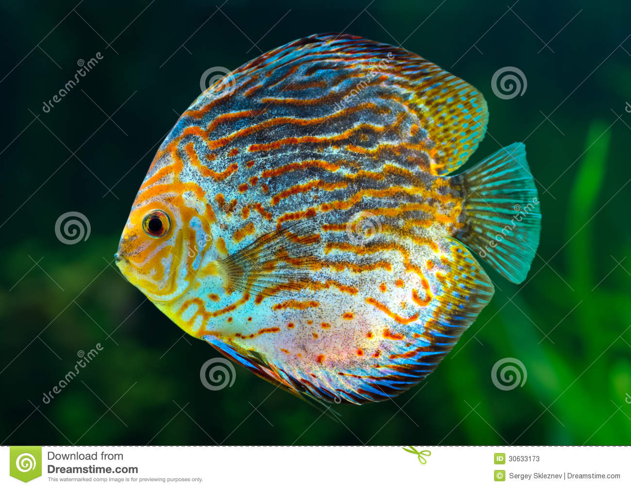 Discus, Tropical Decorative Fish Stock Photos - Image ... Tropical Print Background