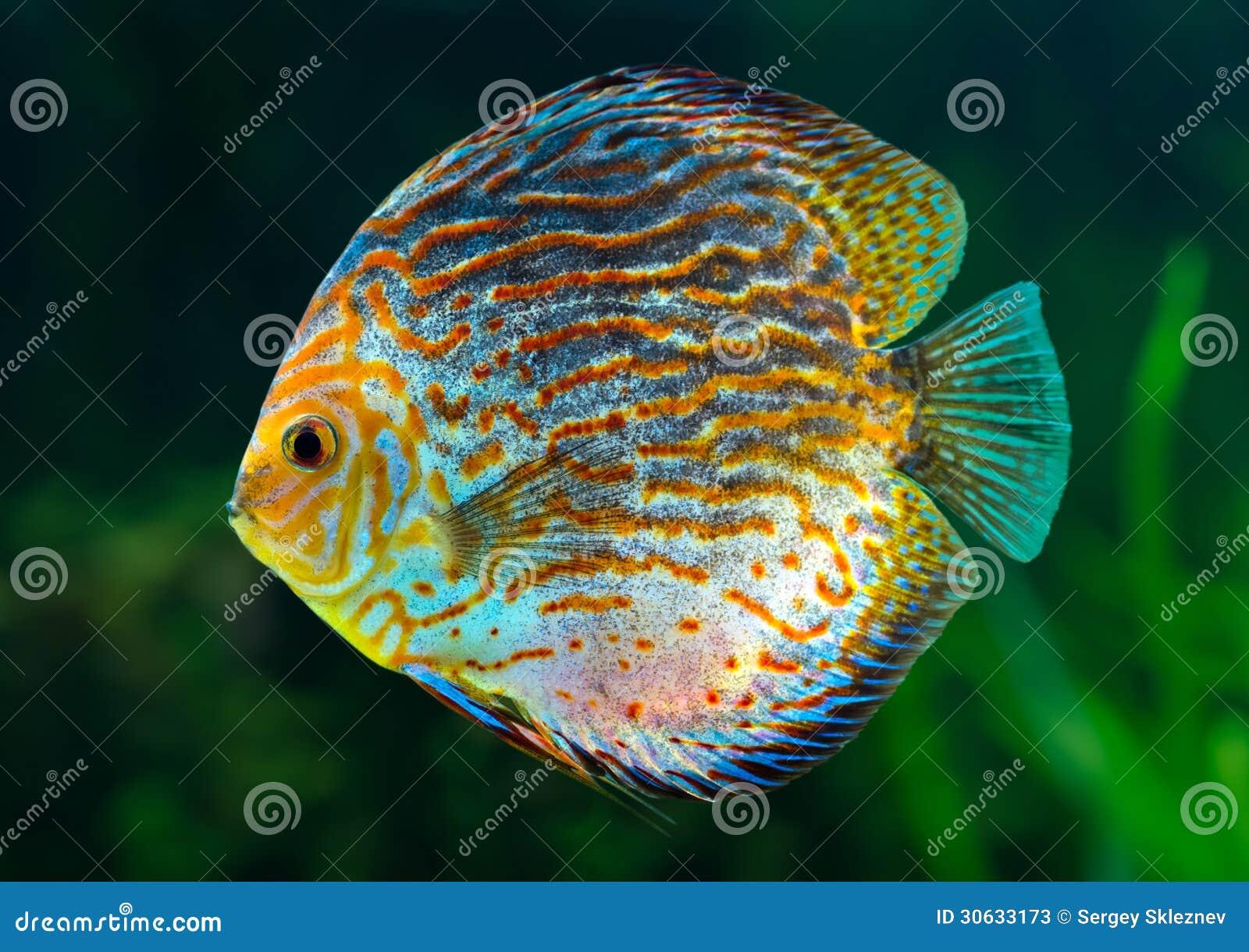 Fish for natural aquarium - Discus Tropical Decorative Fish Stock Photos