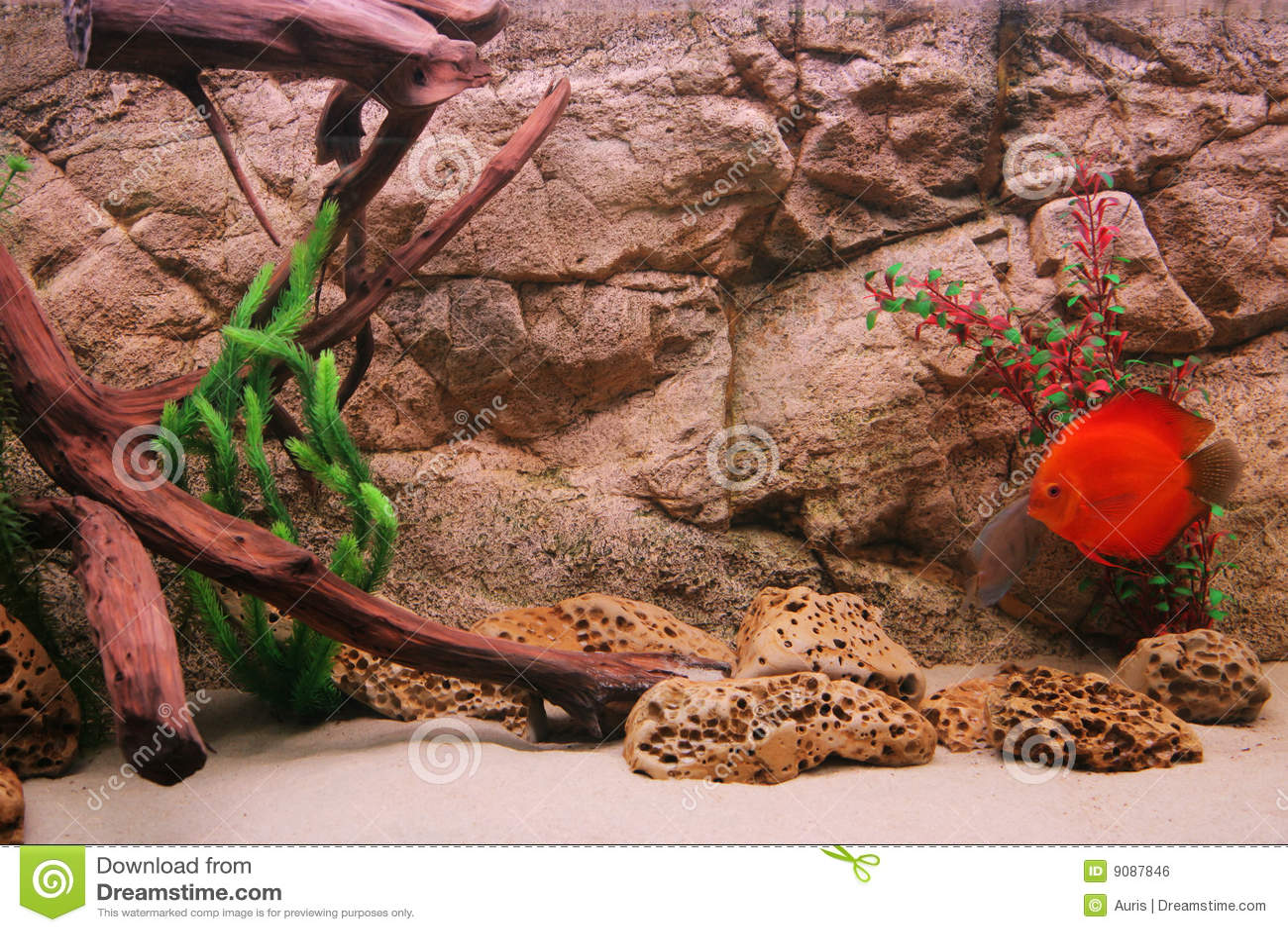 Discus tropicale dei pesci (Symphysodon)