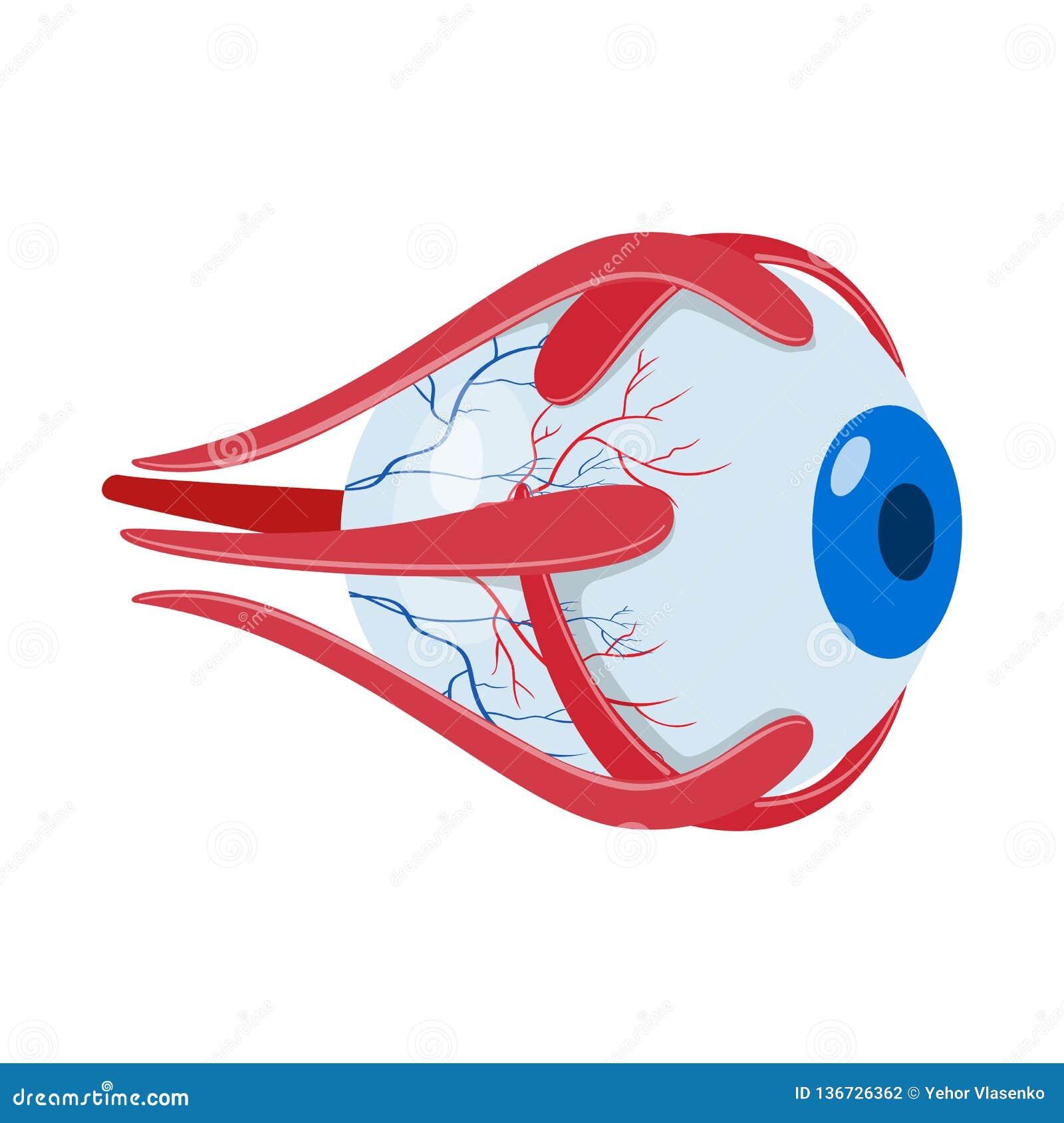 Diseño del vector de icono de la anatomía y del órgano Fije de la anatomía y del símbolo común médico para la web