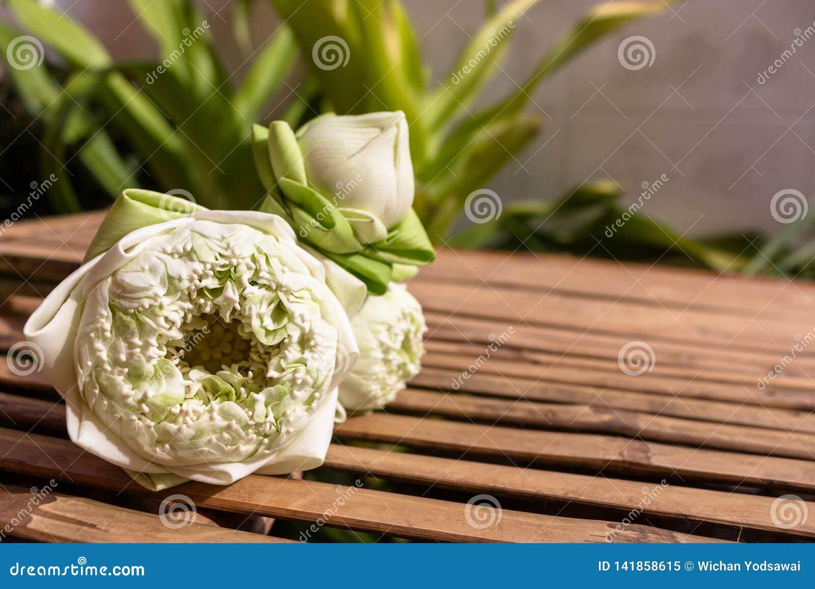 Diseño para tres brotes verdes de las flores de loto en el espacio de madera de bambú de la tabla y de la copia en fondo de la pl