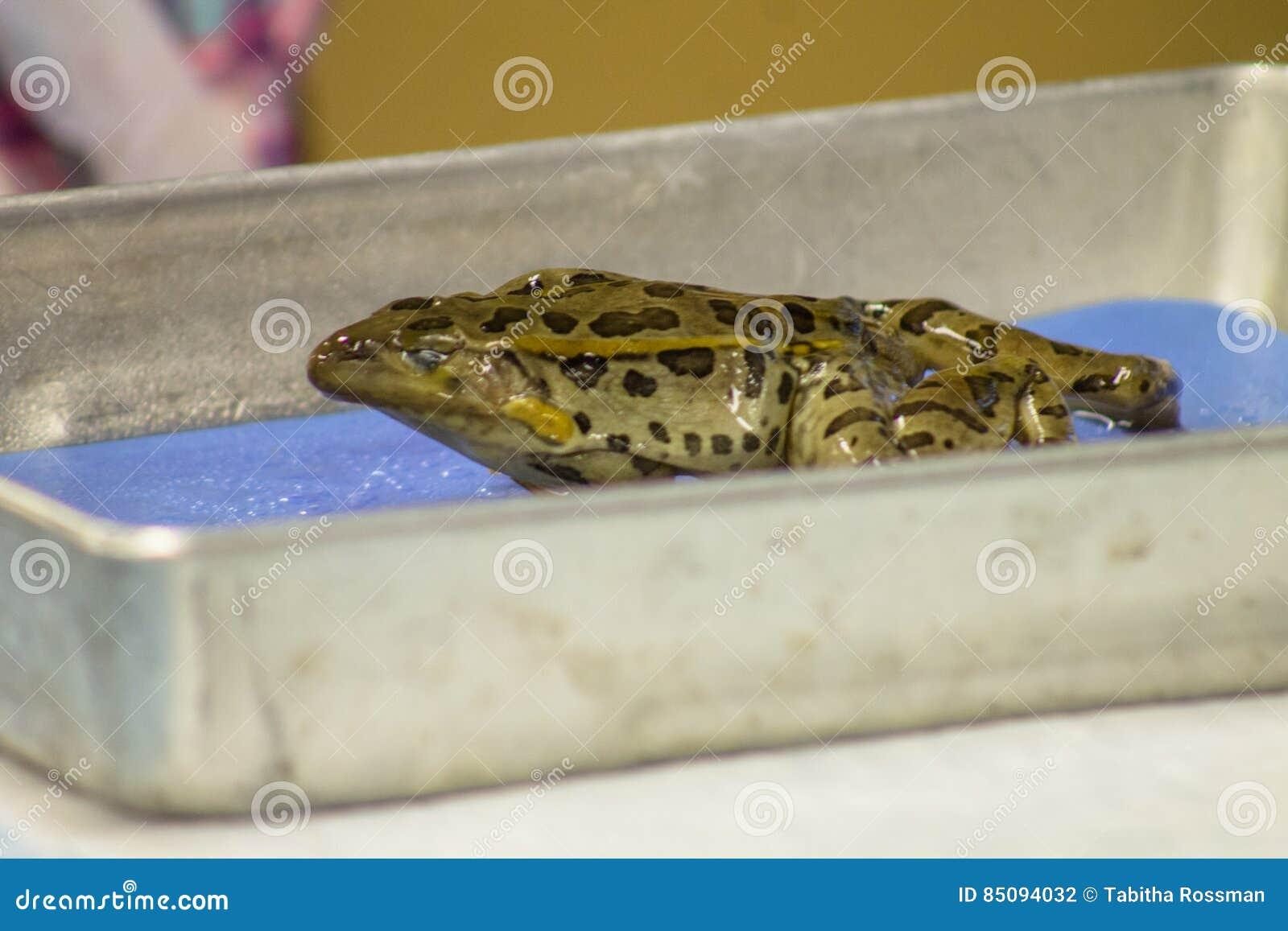 Disección de la rana foto de archivo. Imagen de biología - 85094032
