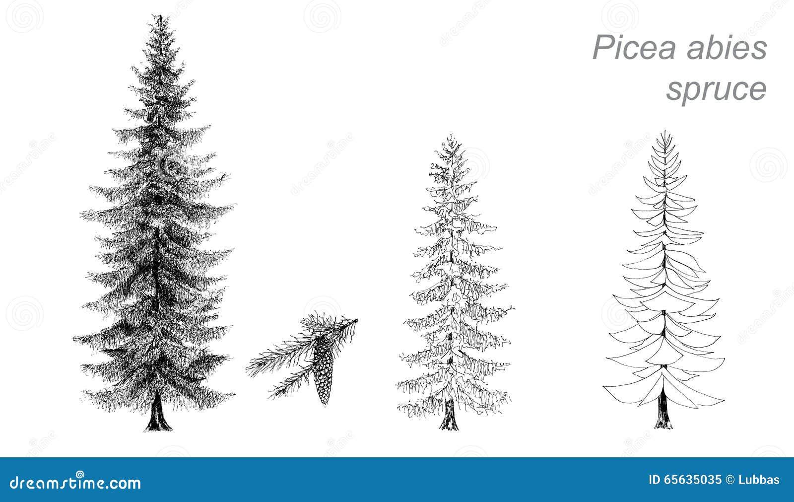 Disegno Di Vettore Dell Abete Rosso Picea Abies Illustrazione