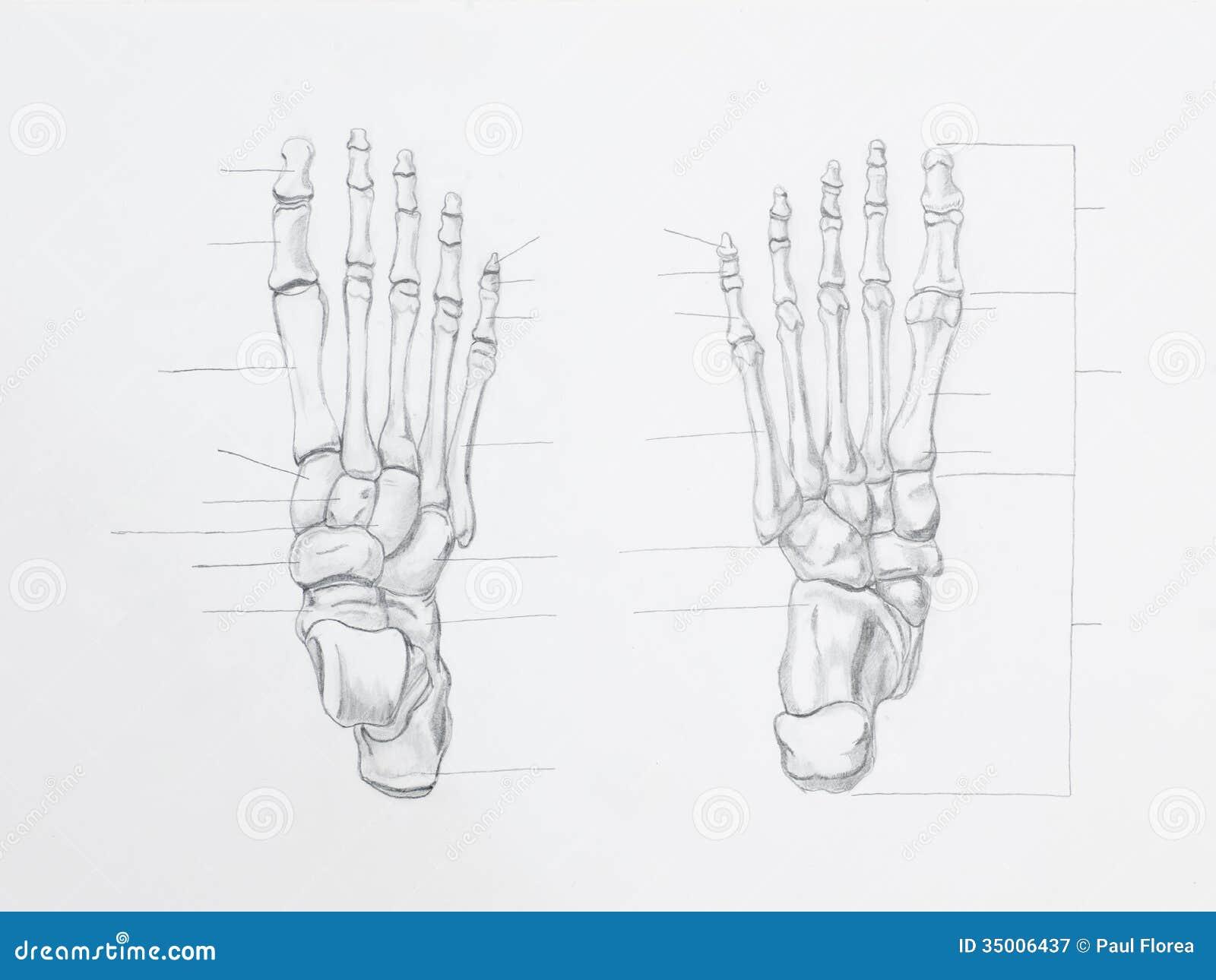 Disegno a matita delle ossa di piede immagine stock for Piede quadrato di 20x20