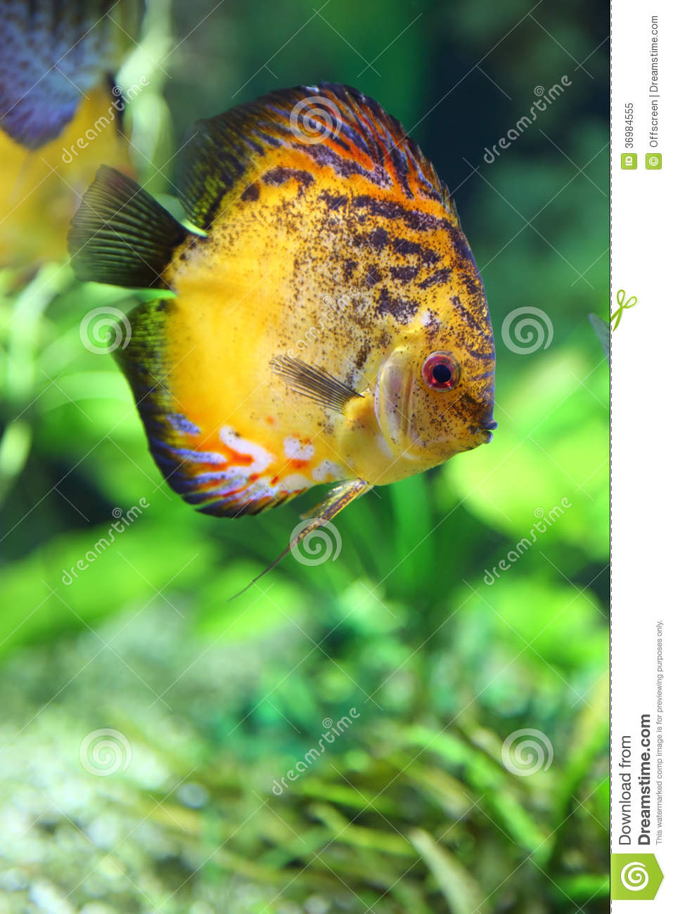Diskus royalty free stock photo image 36984555 for Diskus aquarium