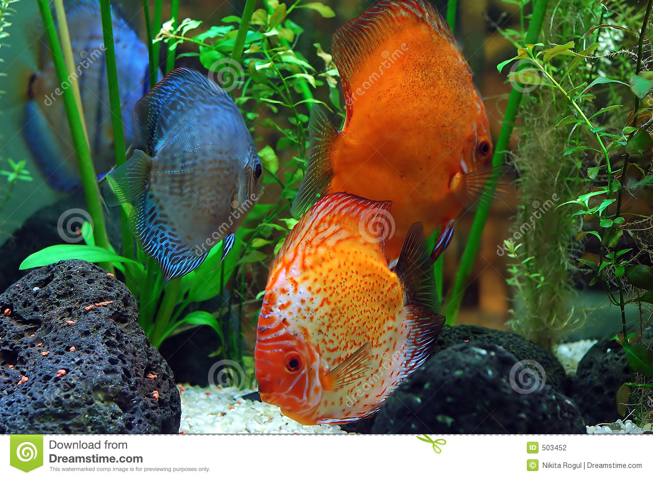 Diskus fish stock photography image 503452 for Diskus aquarium