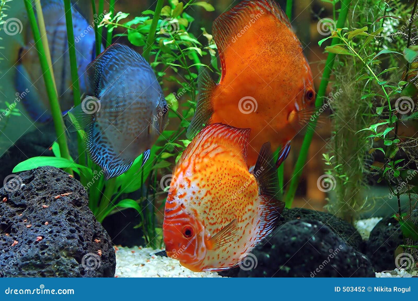 Diskus fish stock photography image 503452 for Diskus aquarium