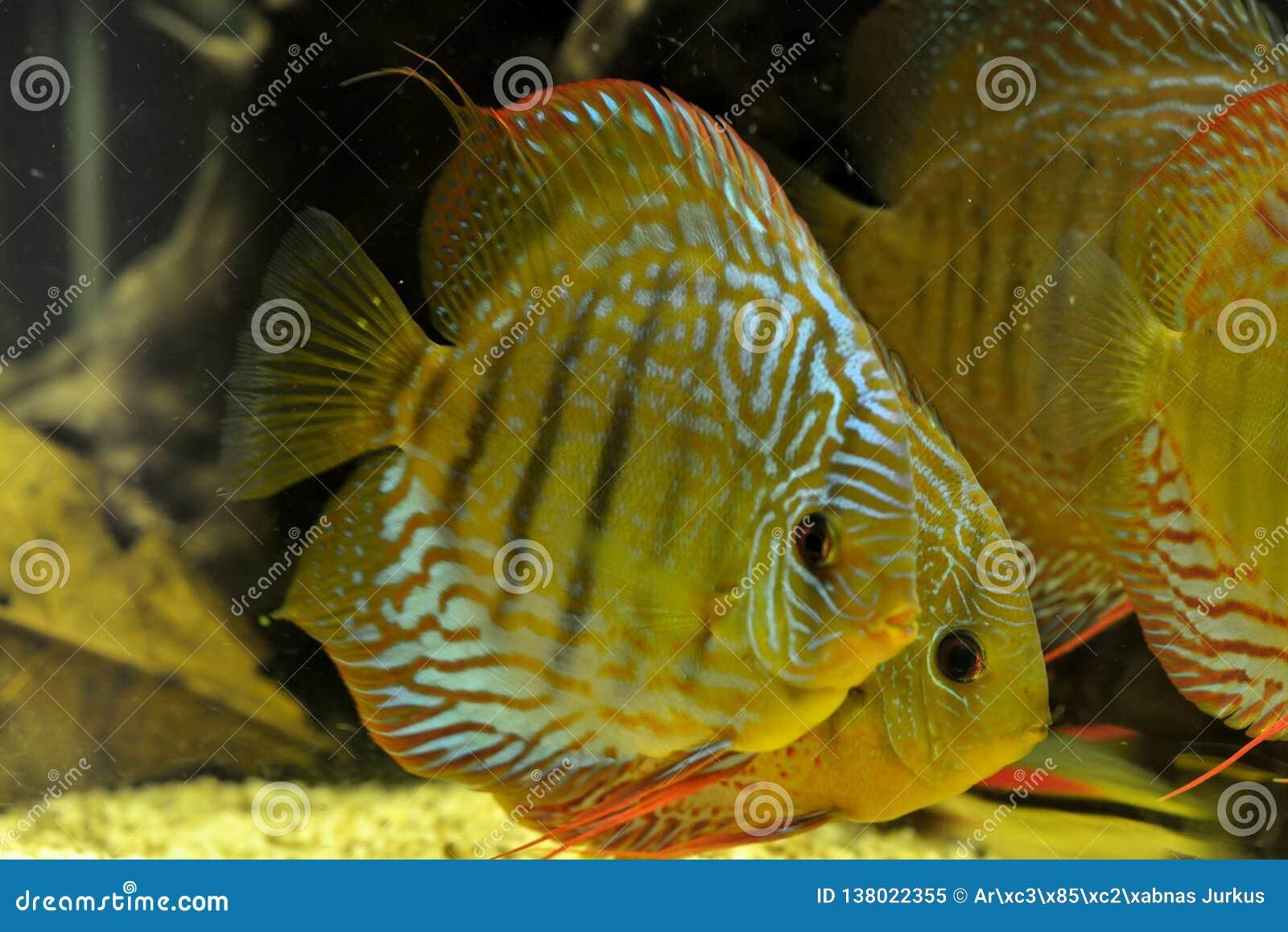 Diskusfisk Symphysodon Aequifasciatus i akvarium