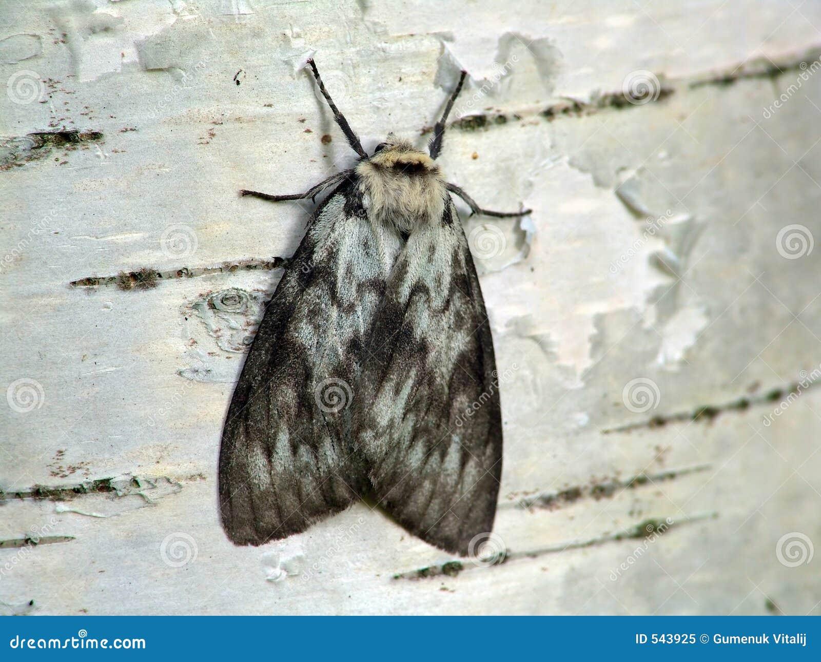 Download Dispar lymantria 库存图片. 图片 包括有 蝴蝶, 木头, 夏天, 的treadled, 结构树 - 543925