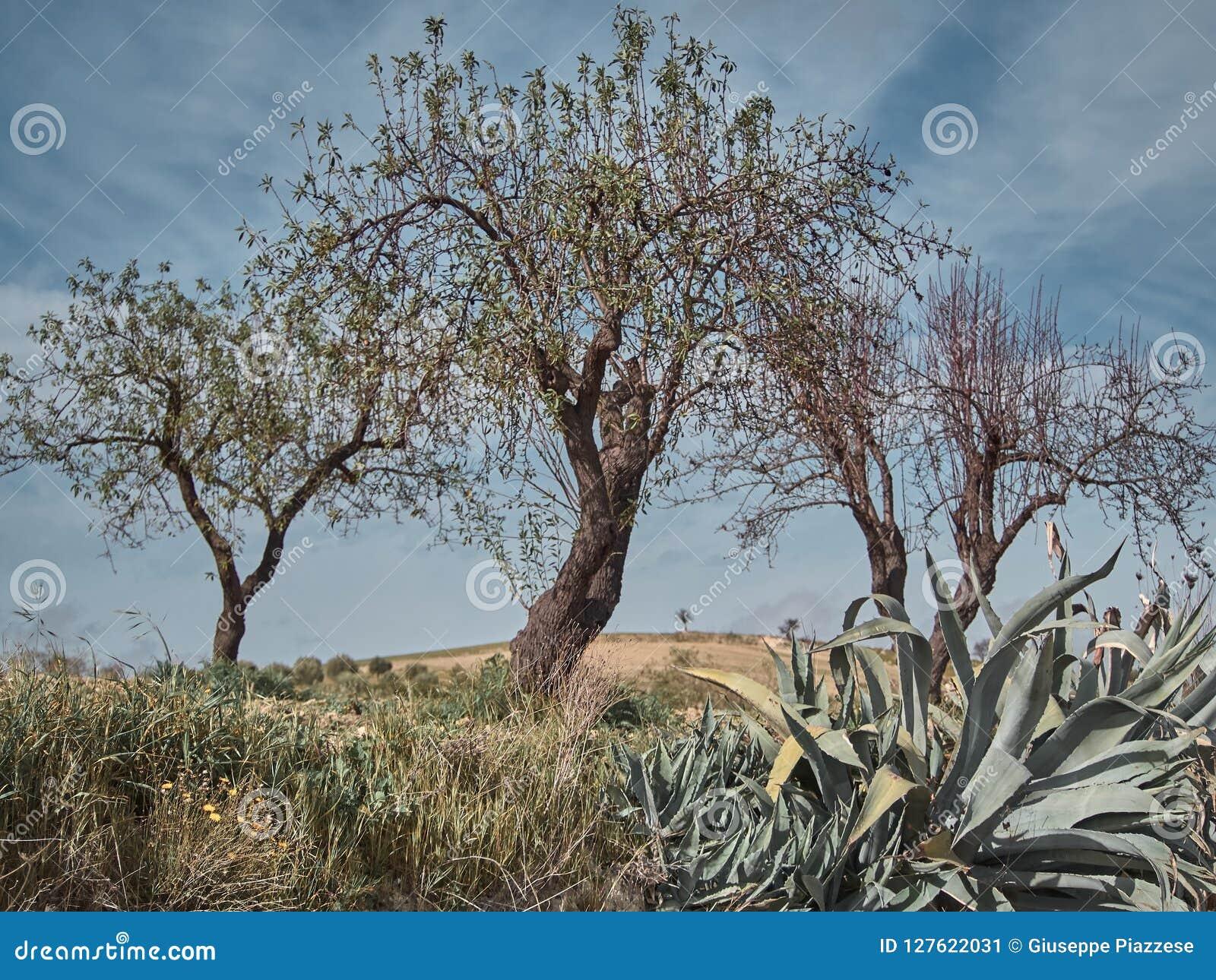 Disparado de um ambiente rural com árvores de azeitonas