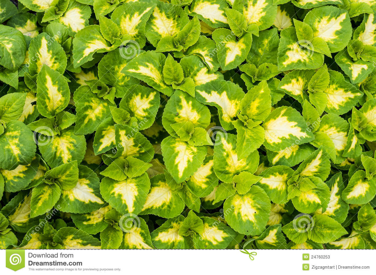 Display Of Coleus Plants With Green Leaves Stock Photos Image