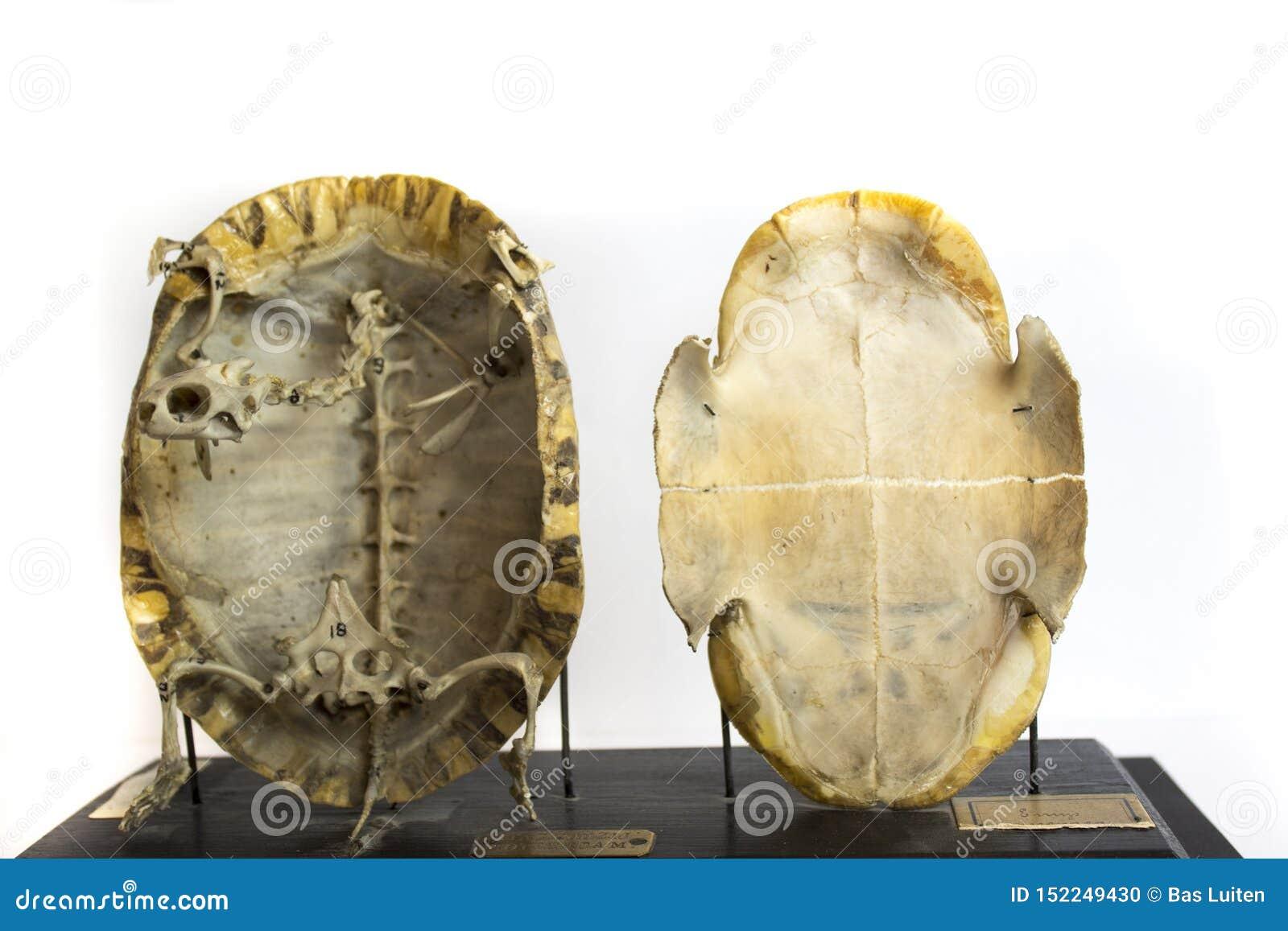 Skeleton of tortoise preserved