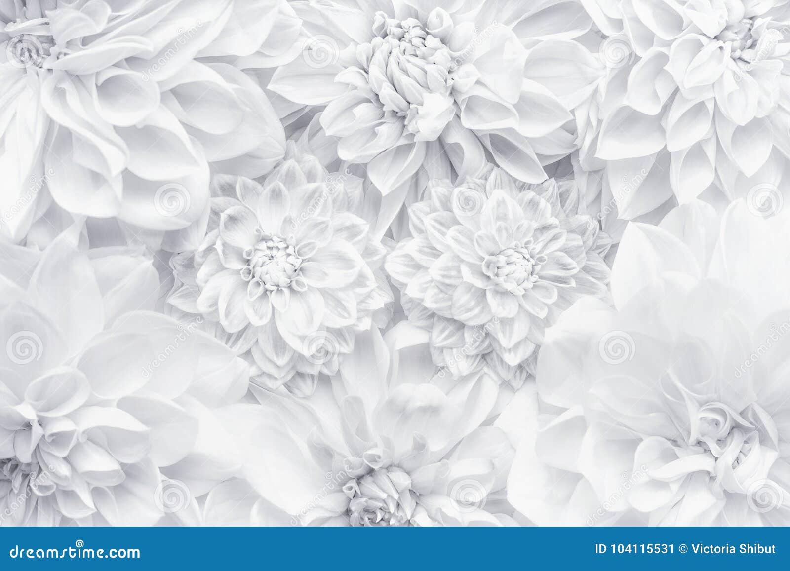 Disposizione creativa dei fiori bianchi, modello floreale o fondo per la cartolina d auguri del giorno di madri, compleanno, gior