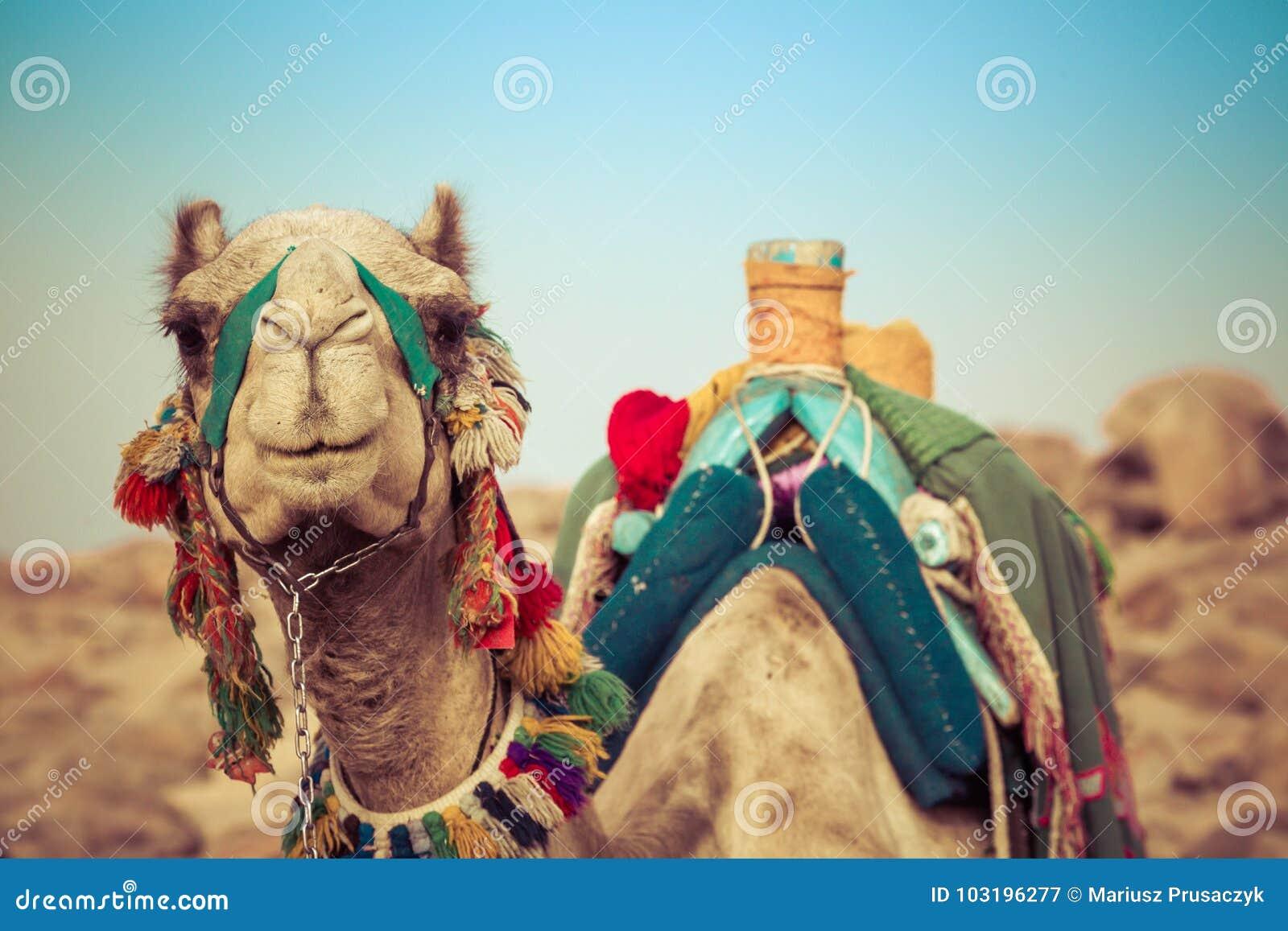 Disposizione del cammello con la sella beduina tradizionale nell Egitto