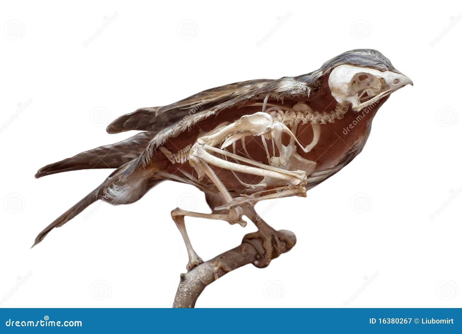 Bird Anatomy Skeleton