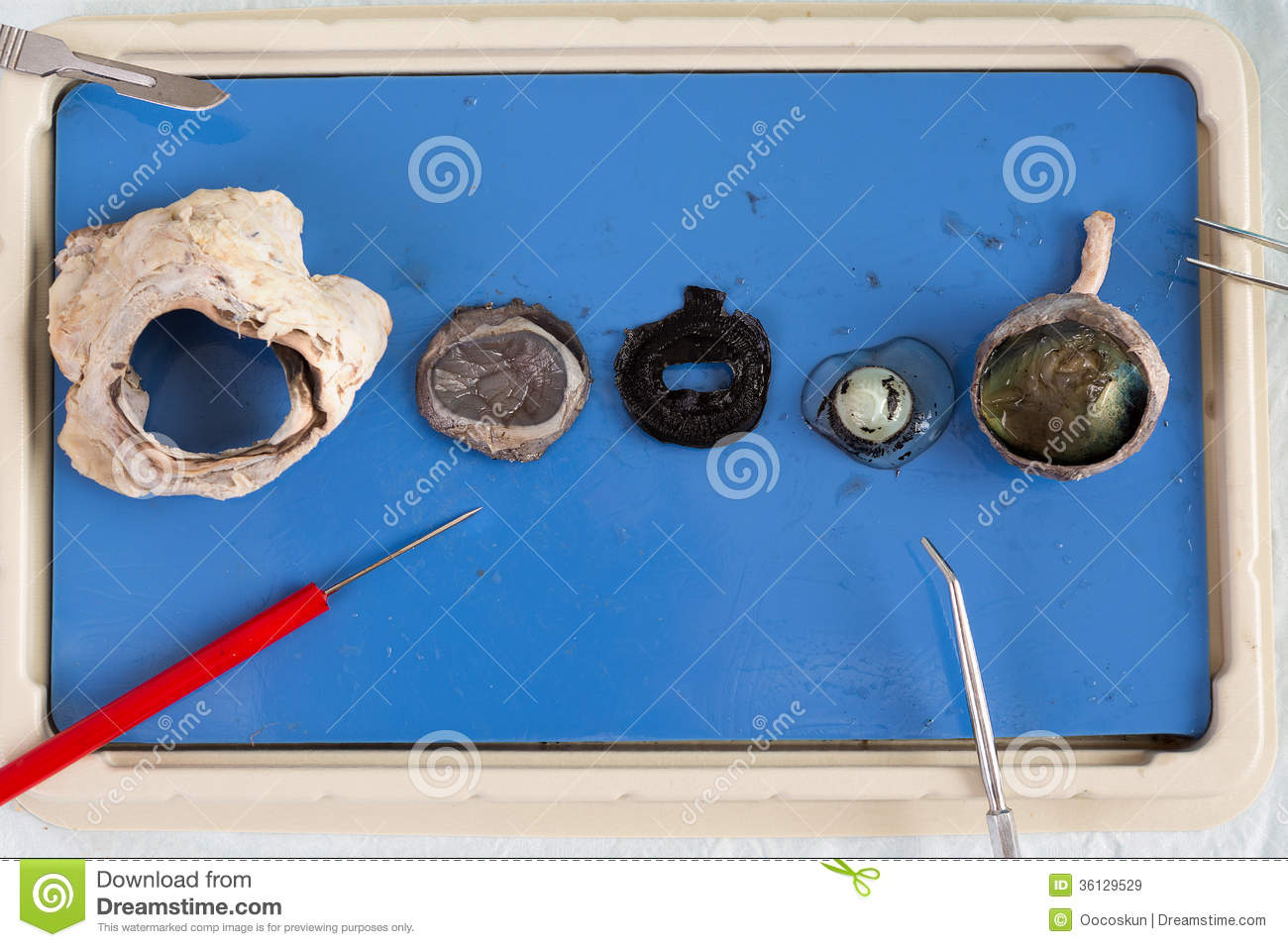 Dissecting a sheep eye stock image. Image of education - 36129529