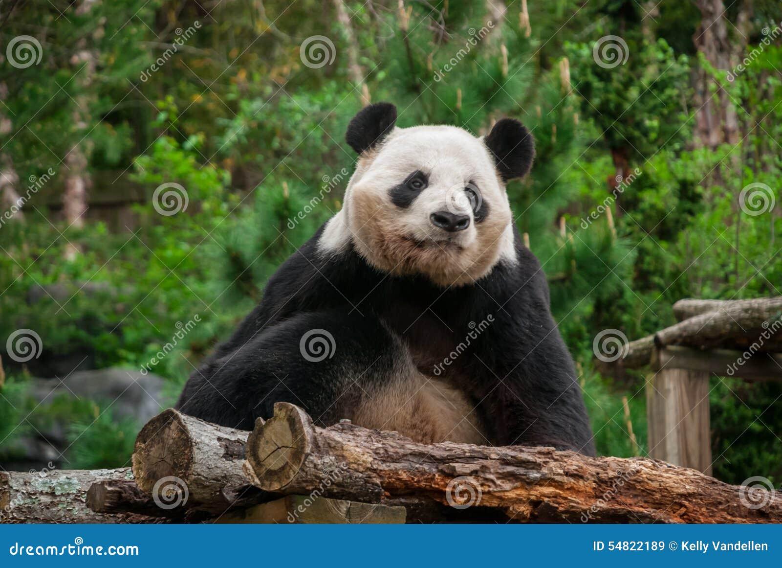 Distance de Panda Bear Staring Off Into