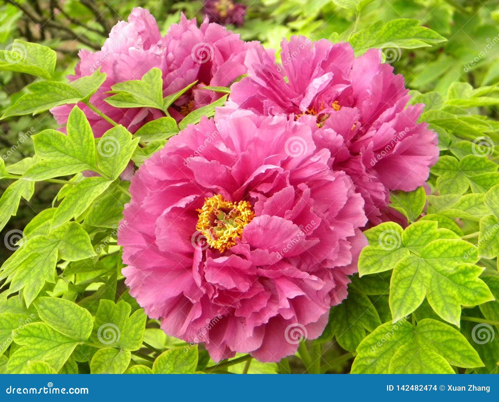 Dit is een pioenbloem en ook de nationale bloem van China