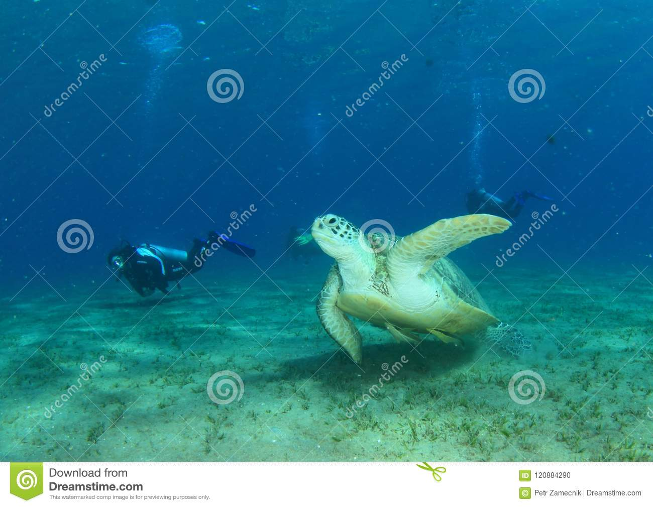 Divers Watching Green Turtle Stock Photo
