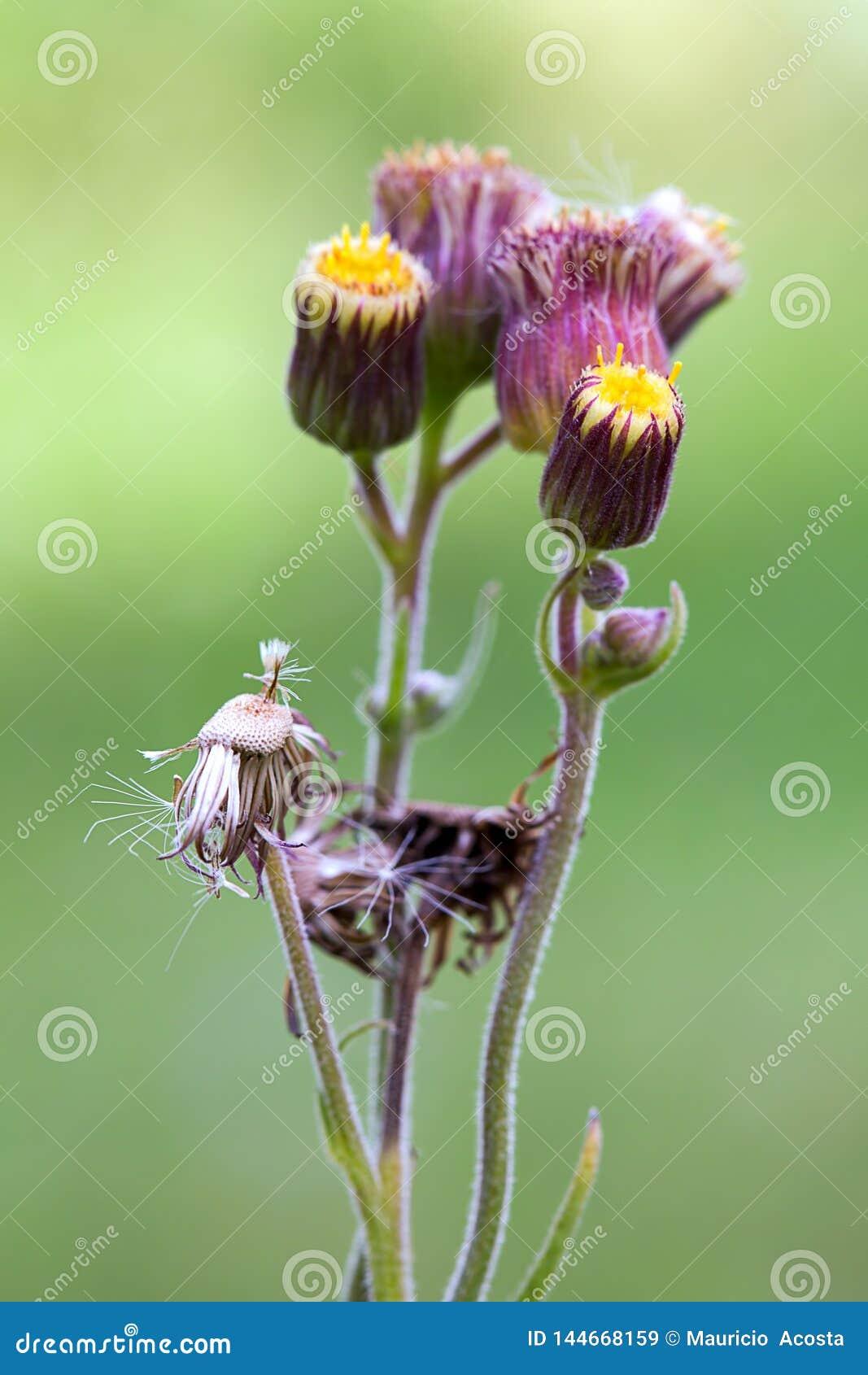 Diversas etapas florales de las flores del ironweed
