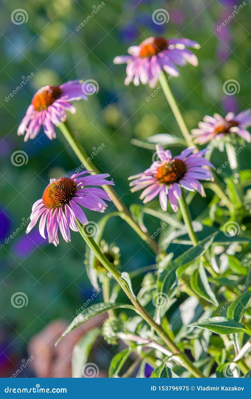 Diversas flores da família da camomila com um centro marrom
