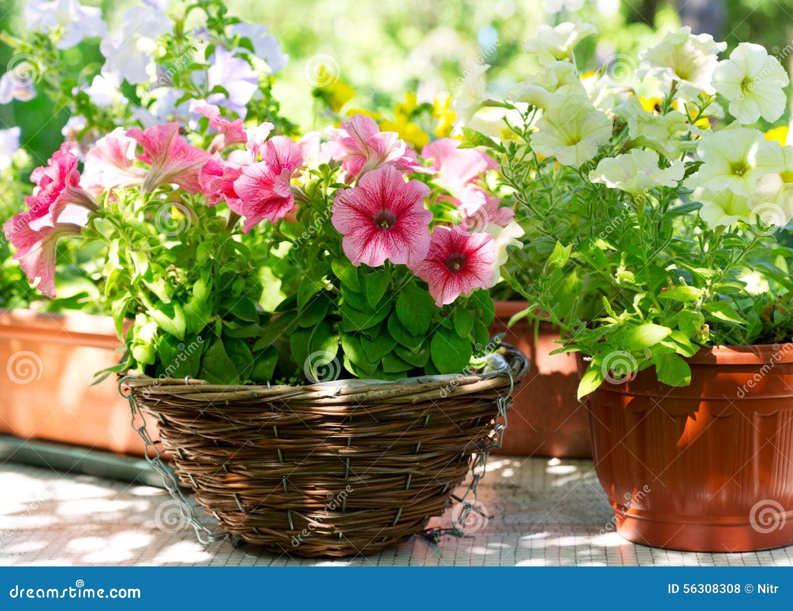 Diversas flores de la petunia