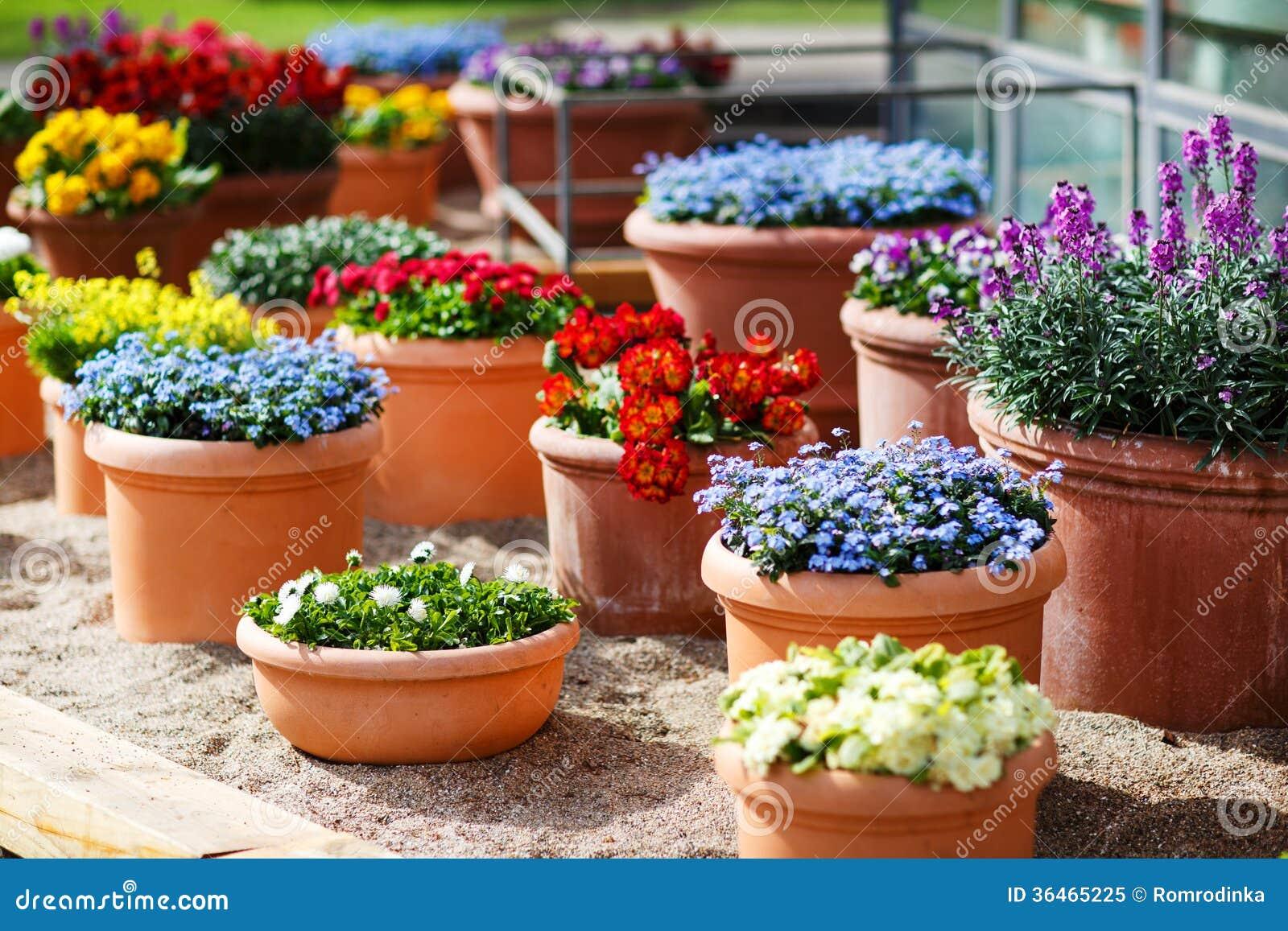Diversas flores hermosas en macetas de cer mica en - Como cuidar hortensias en maceta ...