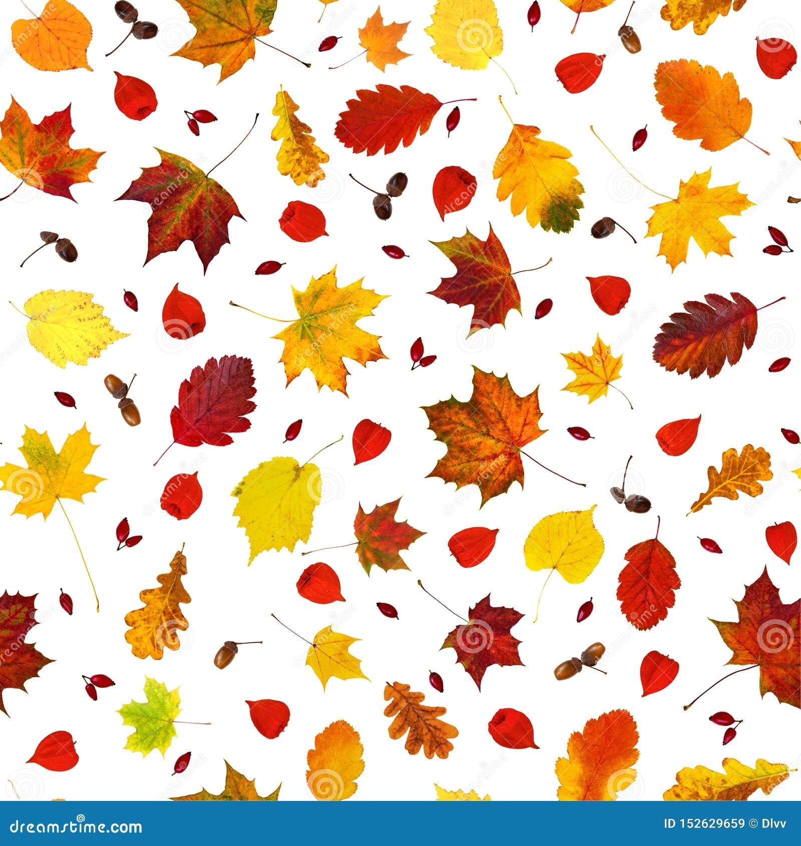 Diversas hojas coloridas de la caída, alkekengi del Physalis de las linternas del physalis, frutas de la perro-rosa y modelo inco