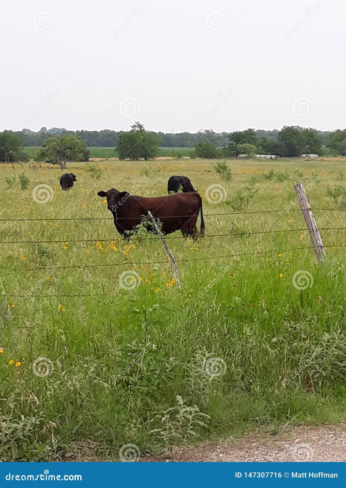Diversas vacas e Texas Wildflowers